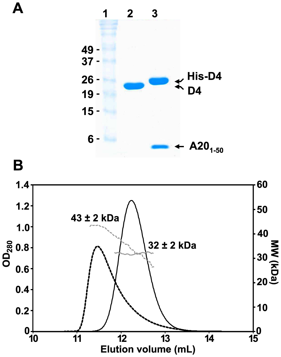 Oligomeric state of D4 and His-D4/A20<sub>1–50</sub>.