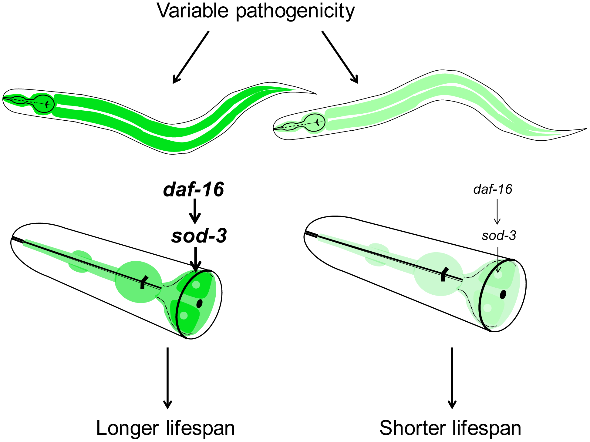 Model for lifespan variability in <i>C. elegans</i>.