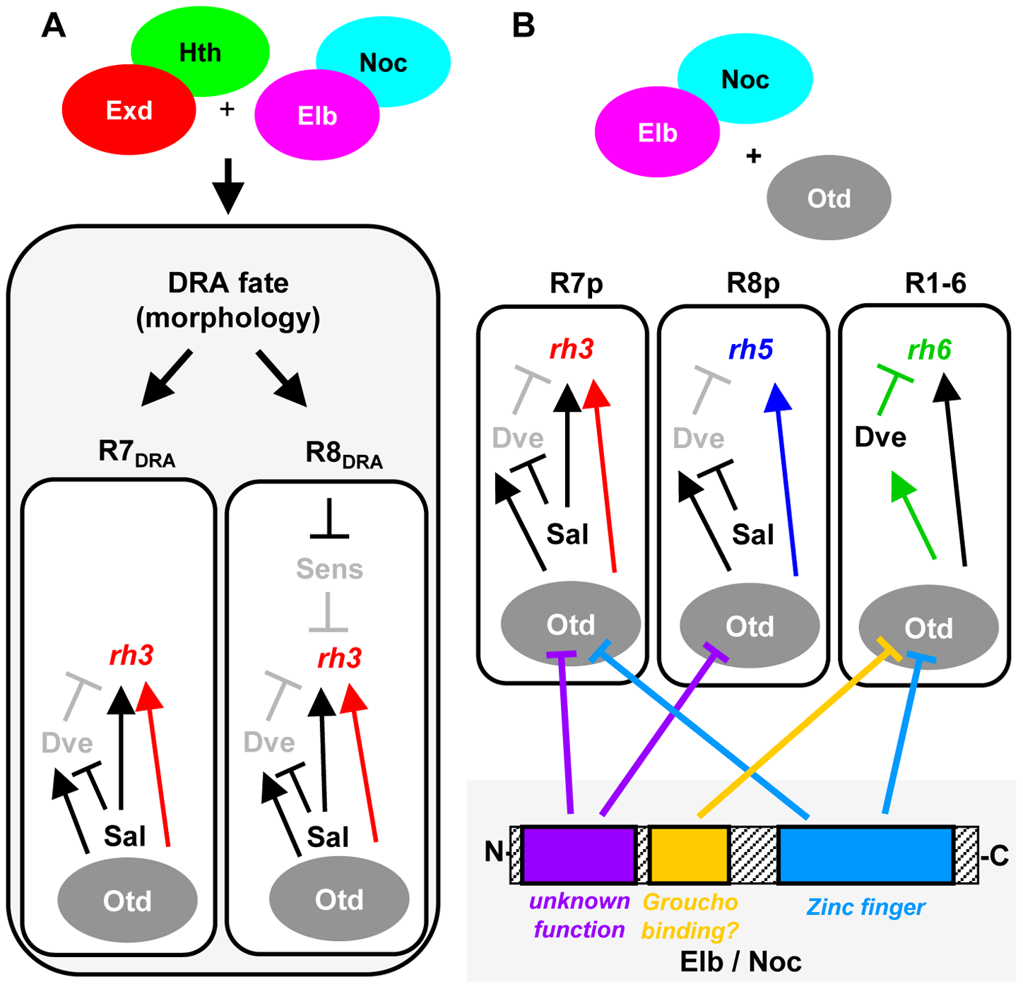 Model summarizing the roles of Elb/Noc action in photoreceptor cell fate specification.