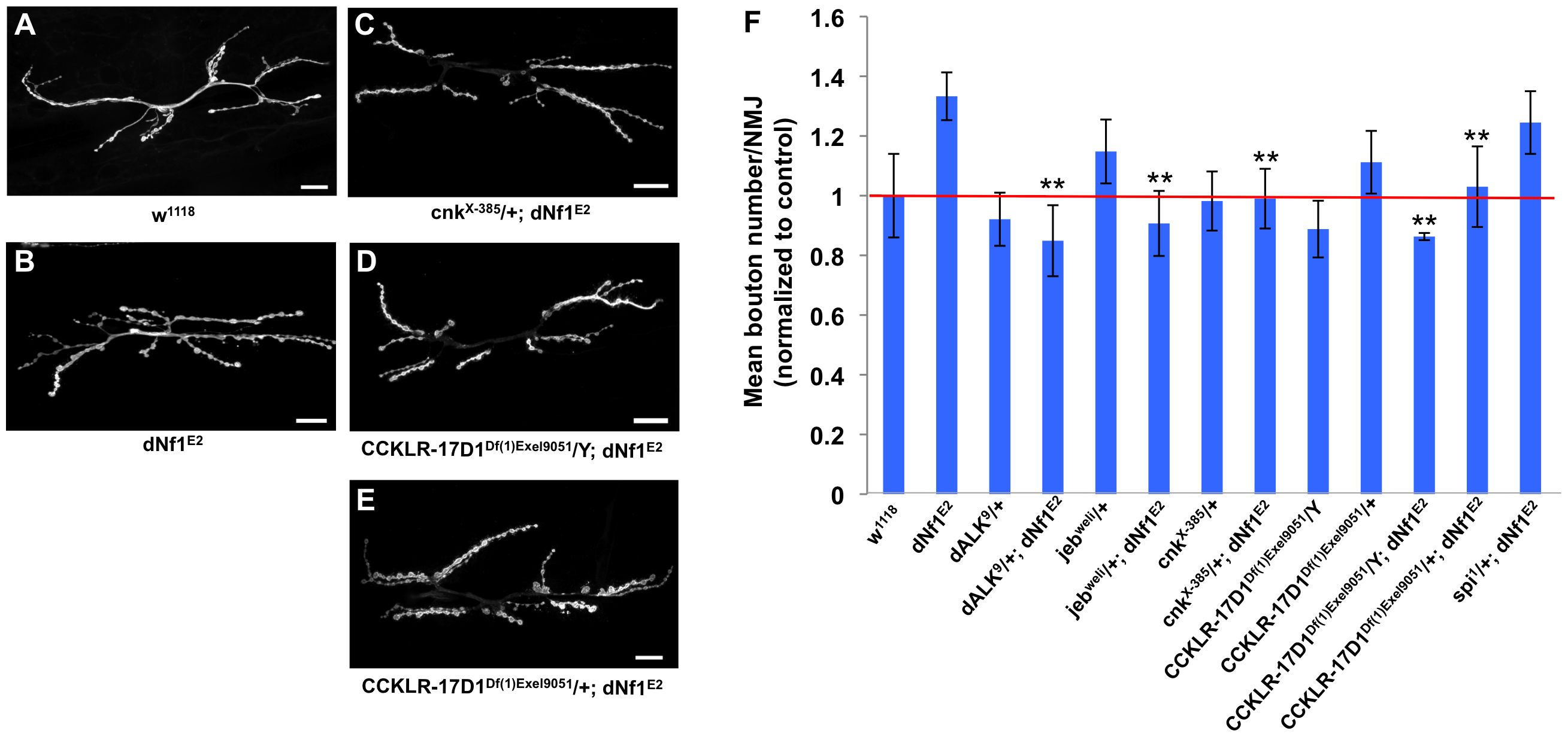 Several <i>dNf1</i> pupal size defect suppressors also suppress a NMJ synaptic overgrowth phenotype.