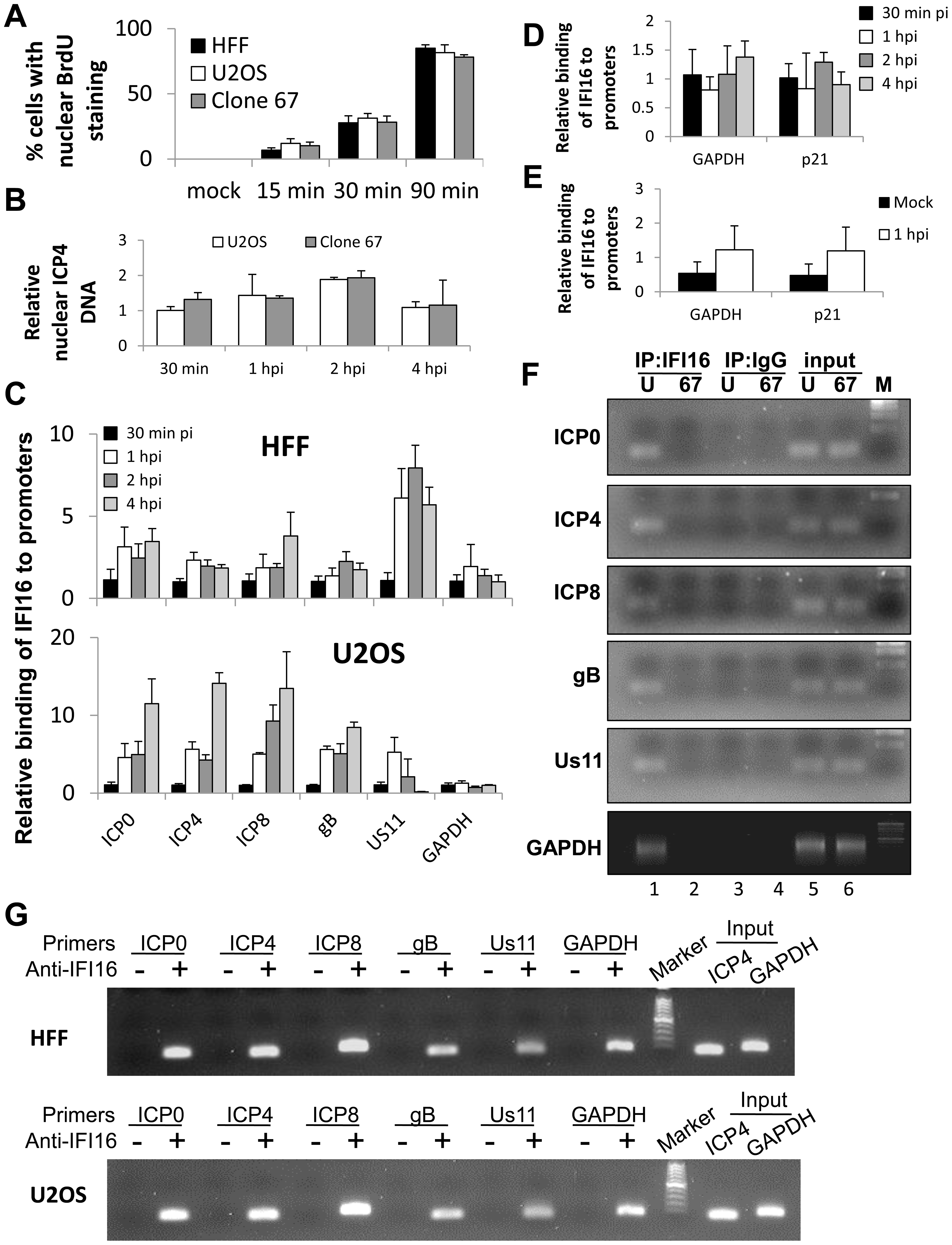 ChIP analysis of IFI16 binding to the HSV-1 genome at the transcriptional start site of viral genes.