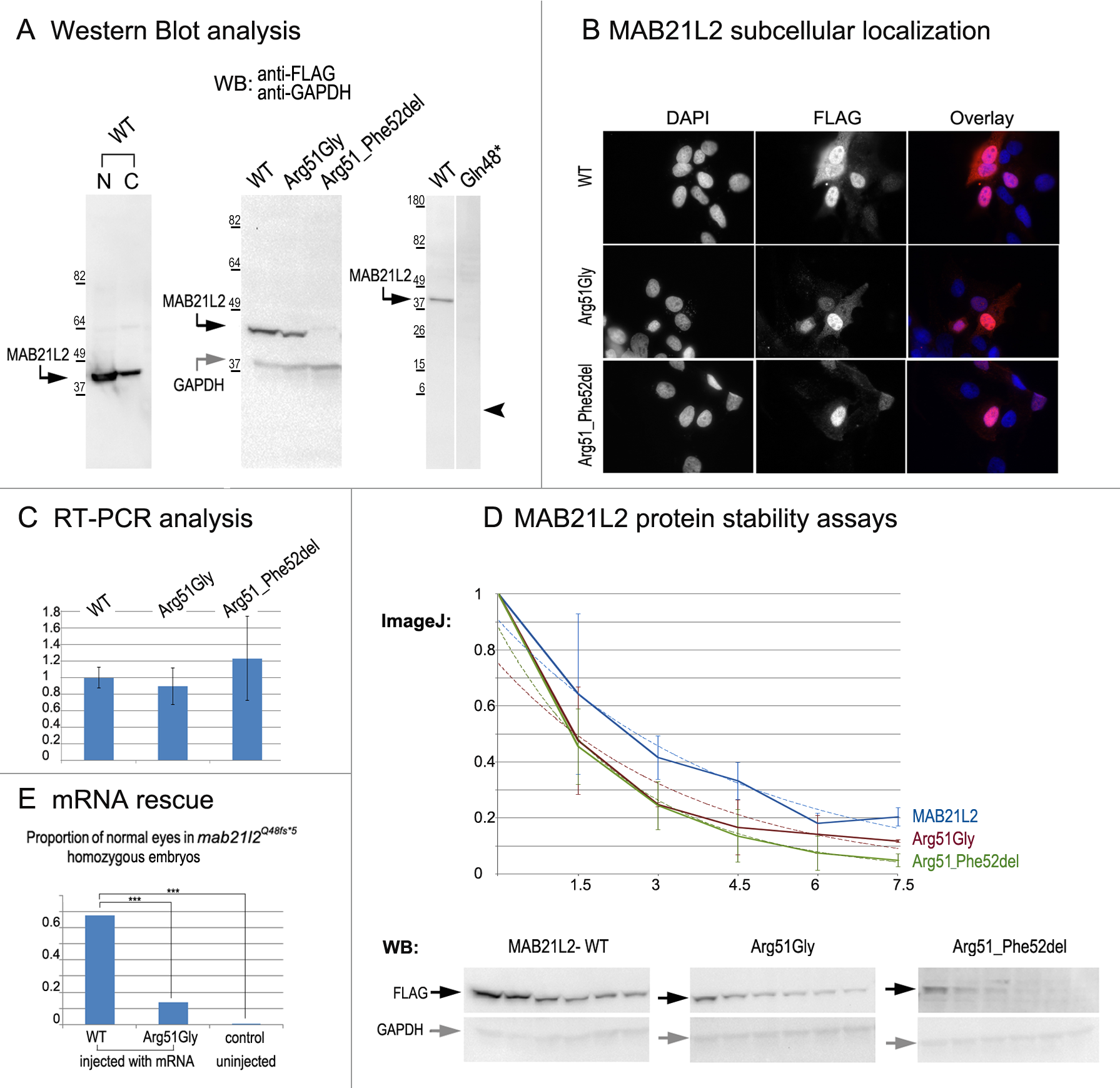 MAB21L2 wild-type and mutant protein studies.