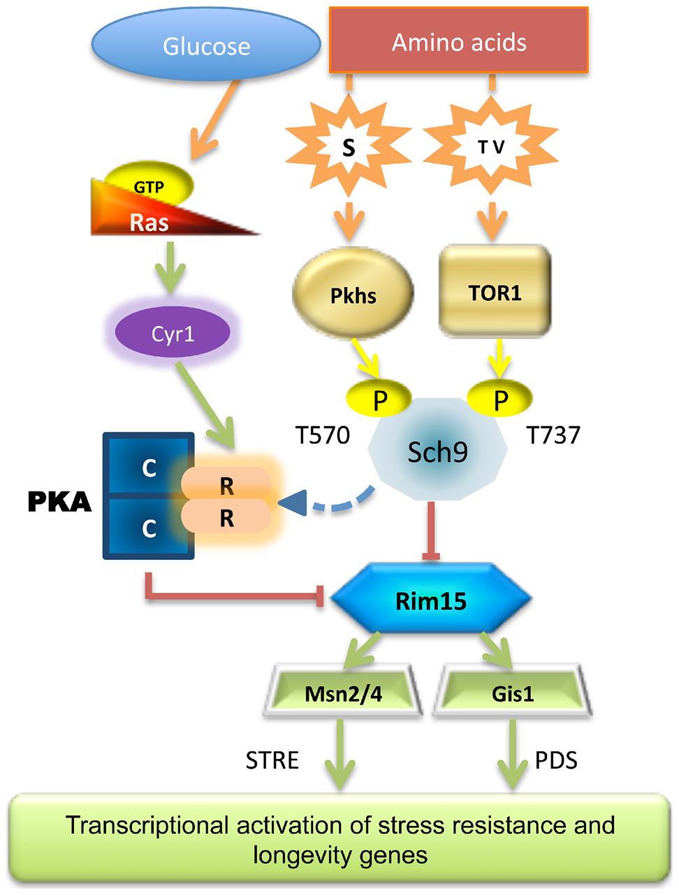 Scheme of the nutrient pathways.