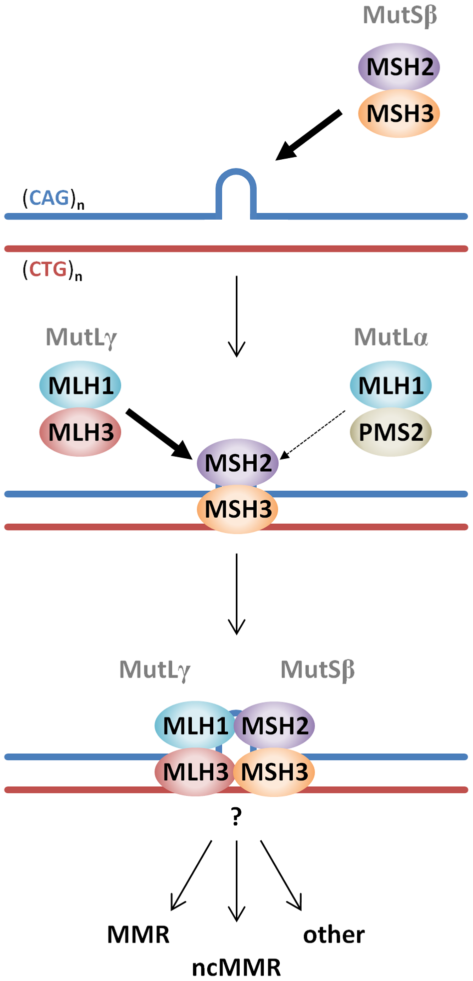 Proposed model of MutS and MutL-dependent events leading to CAG•CTG somatic instability.