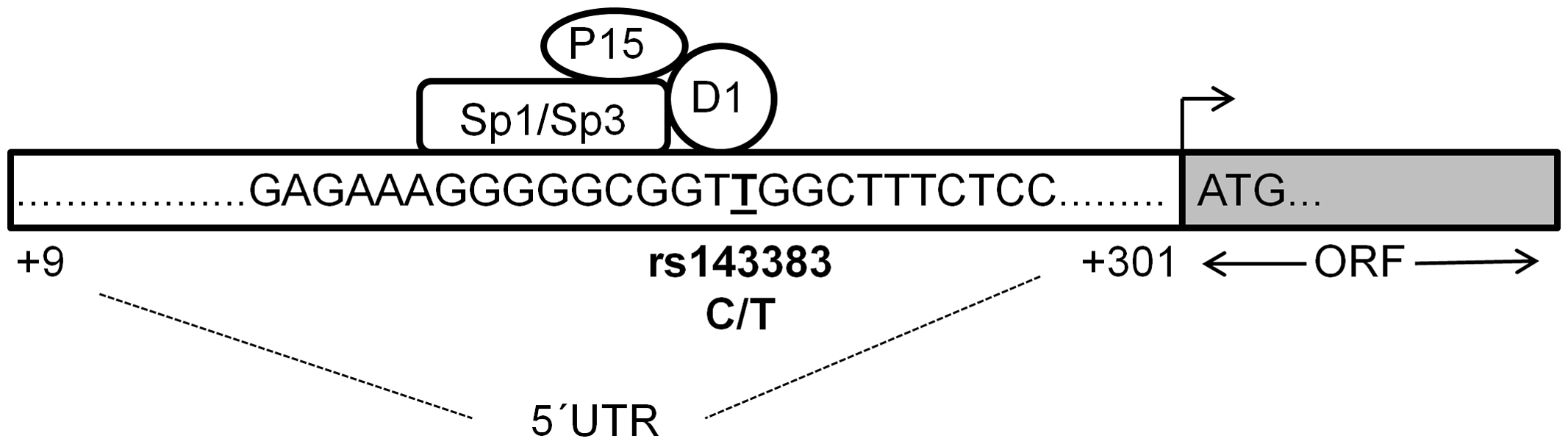 Proposed binding model of the four<i>trans</i>-acting factors to rs143383.