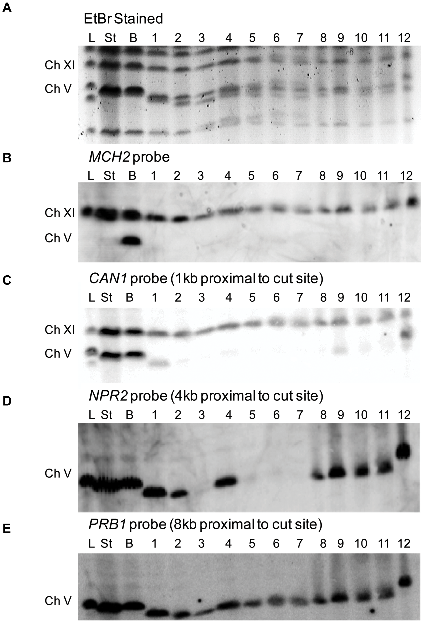 Characterization of Can<sup>R</sup> HPH<sup>S</sup> <i>sgs1</i>Δ <i>exo1</i>Δ colonies in the BIR strain by PFGE.