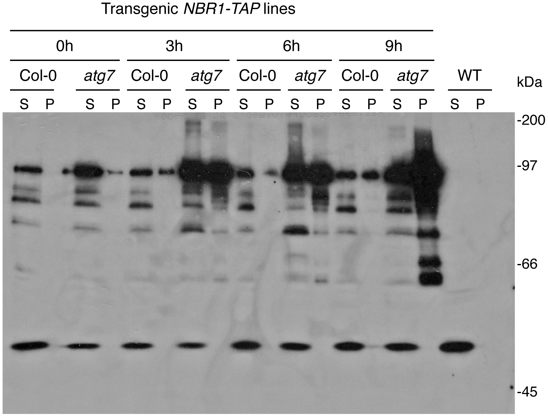 Accumulation of NBR1 and its increased enrichment in the insoluble protein fraction in the <i>atg7</i> mutant under heat stress.