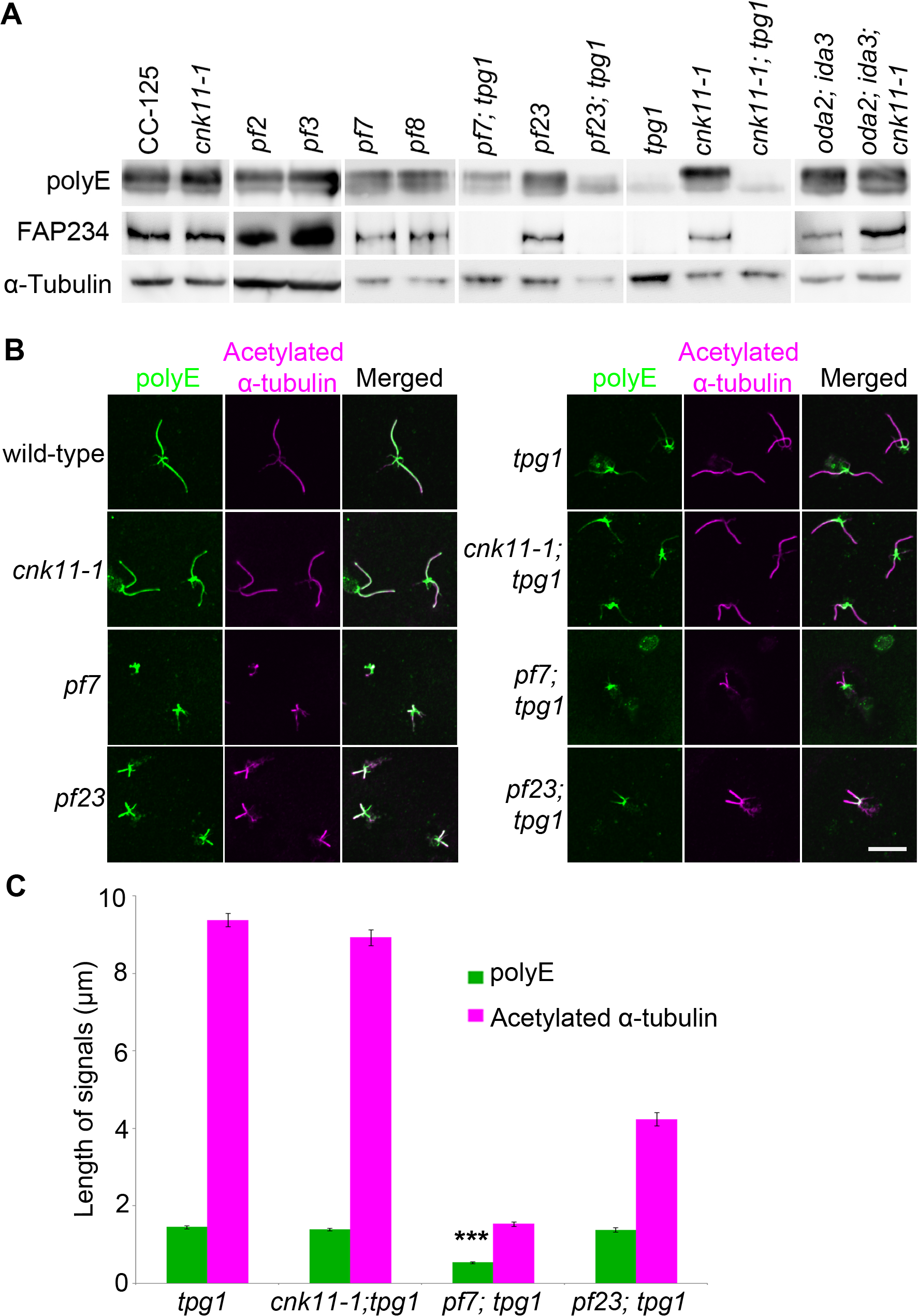 The localization of polyglutamylated tubulin is affected by both <i>tpg1</i> and <i>pf7</i>.