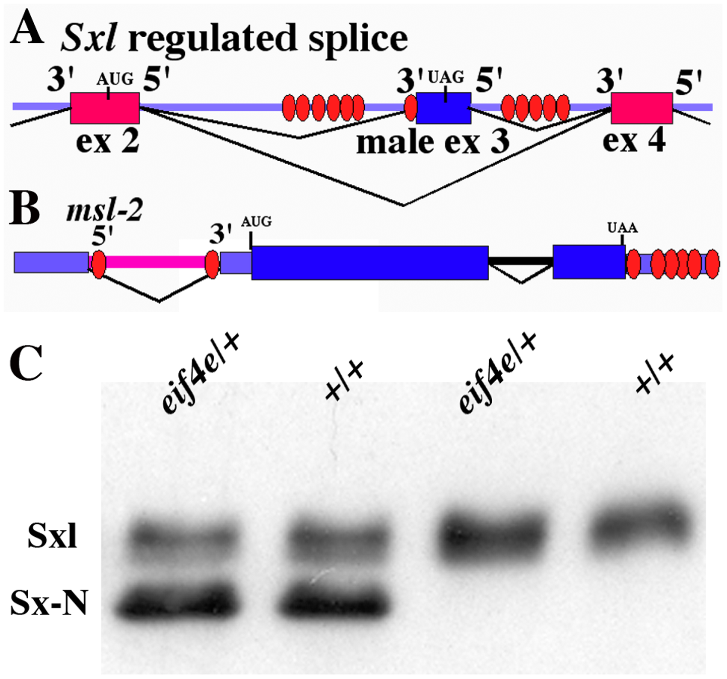 Sx-N protein can repress the translation of endogenous <i>Sxl-Pm</i> mRNAs in an <i>eif4e</i> mutant background.