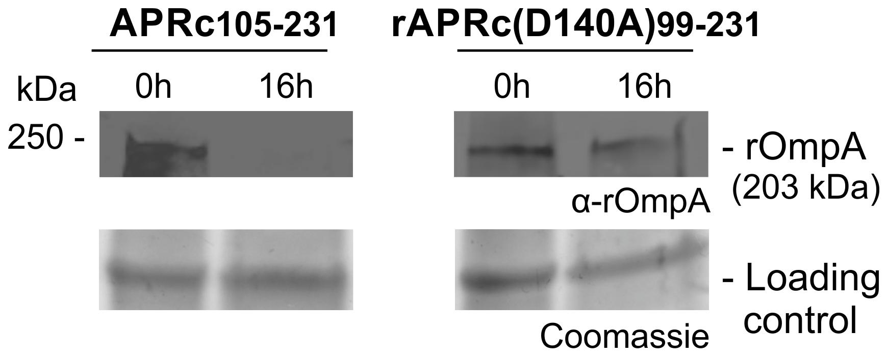 APRc can process rOmpA <i>in vitro</i>.