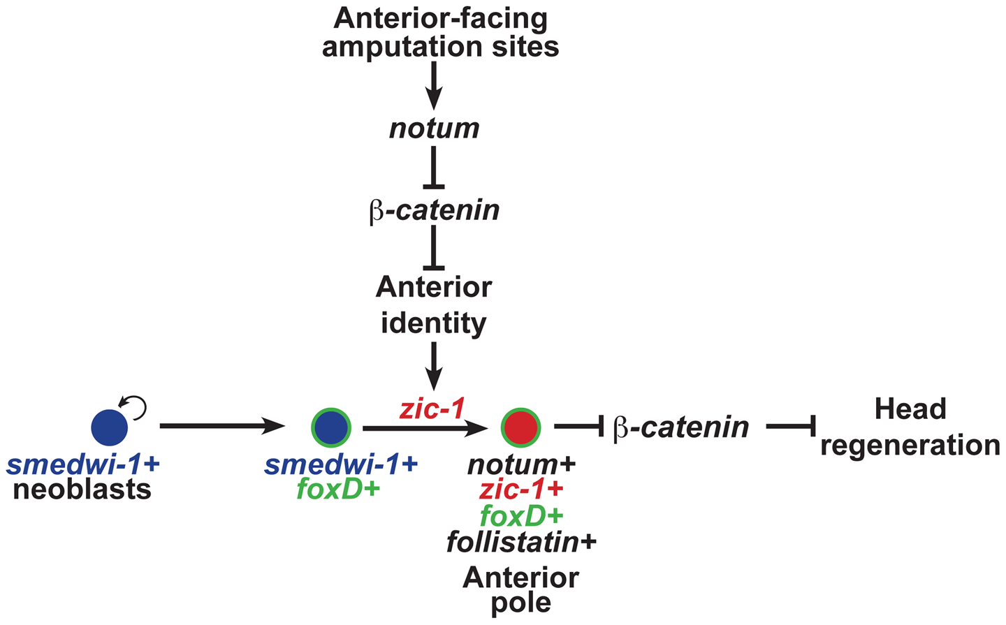 <i>zic-1</i> function couples injury signaling and polarized Wnt signaling cues for activation of stem cells to produce the anterior pole in early head regeneration.