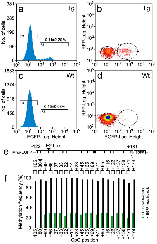 Methylation profile of the <i>Miwi</i> promoter–driven transgene in <i>Miwi</i>-<i>EGFP</i> transgenic mice.