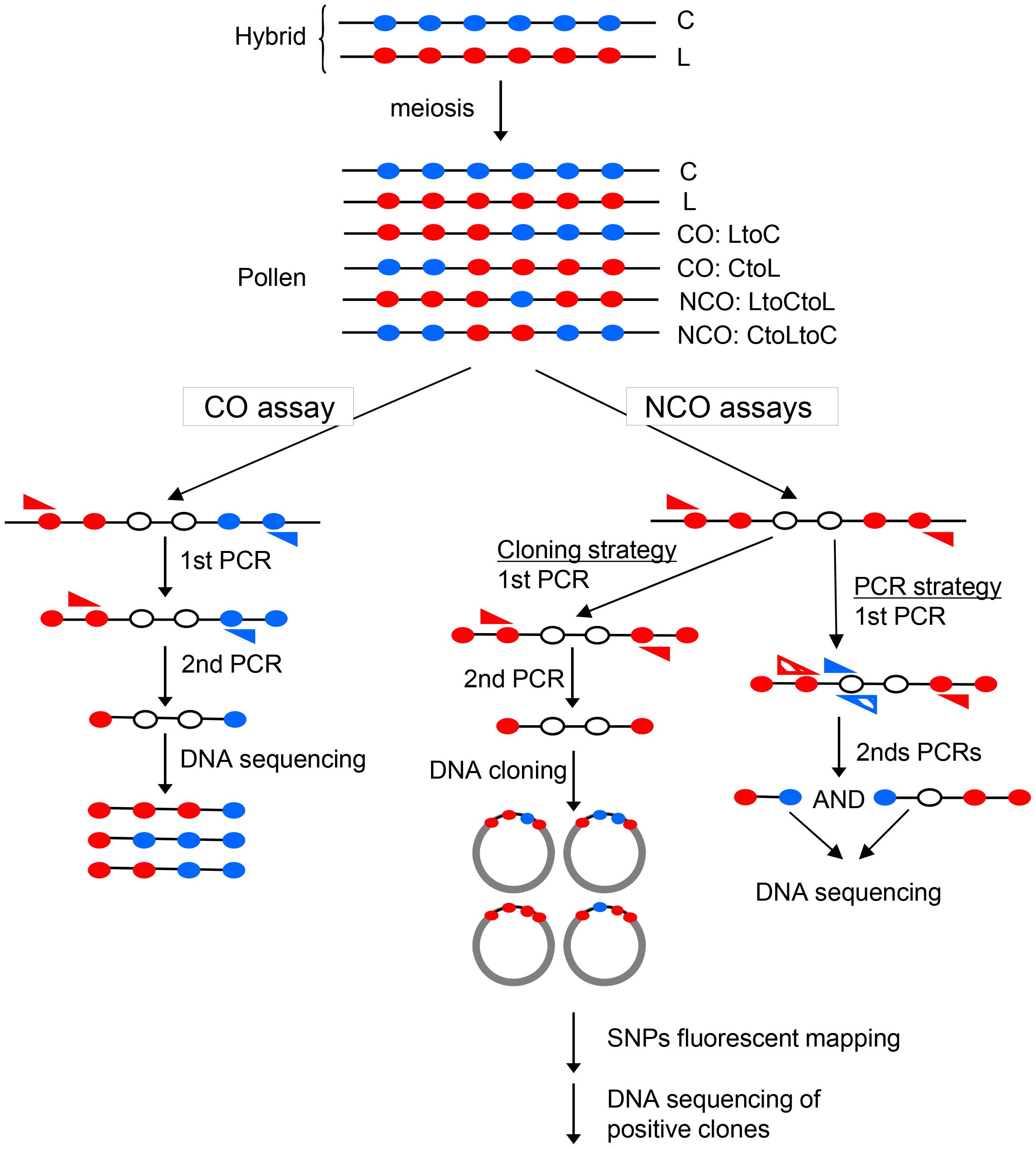 Specific detection of CO and NCO molecules in genomic DNA extracted from pollen.