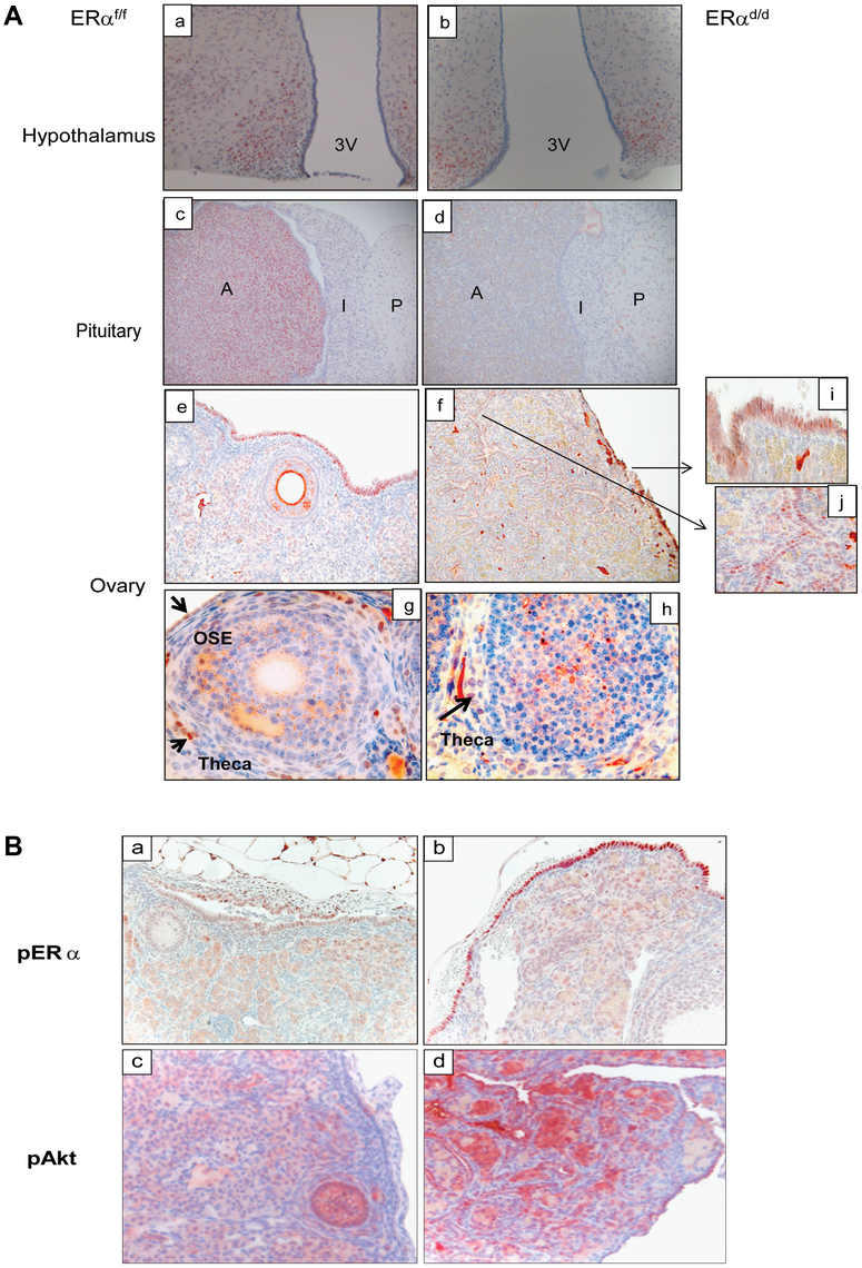 ERα localization in the tissues of HPO axis.
