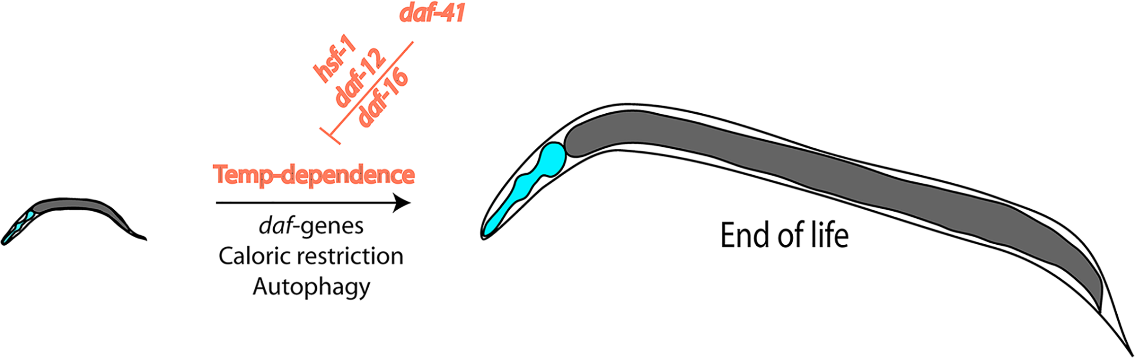 Nematode lifespan is regulated by temperature amongst other influences.
