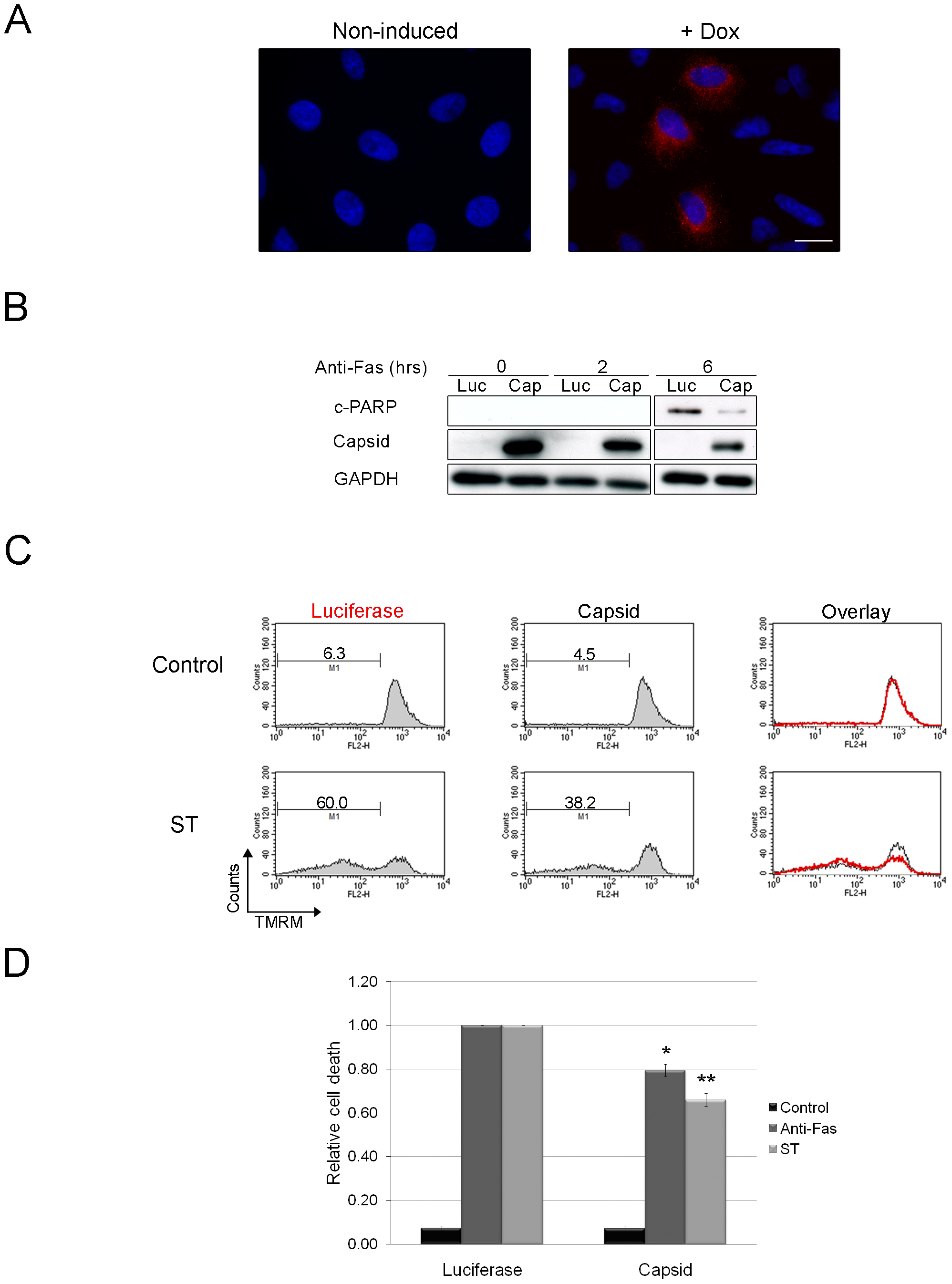 Expression of capsid in stably transduced A549 cells protects against staurosporine- and Fas-induced depolarization of mitochondria and PARP cleavage.