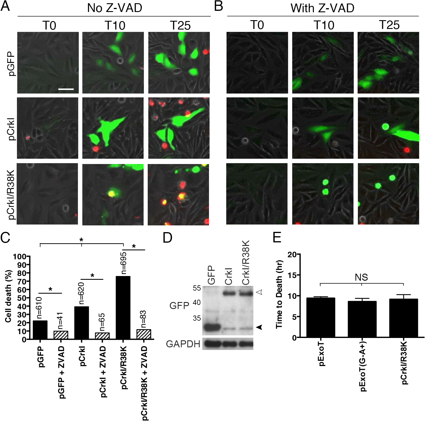 CrkI/R38K mutant phenocopies ExoT/ADPRT-induced apoptosis in HeLa cells.