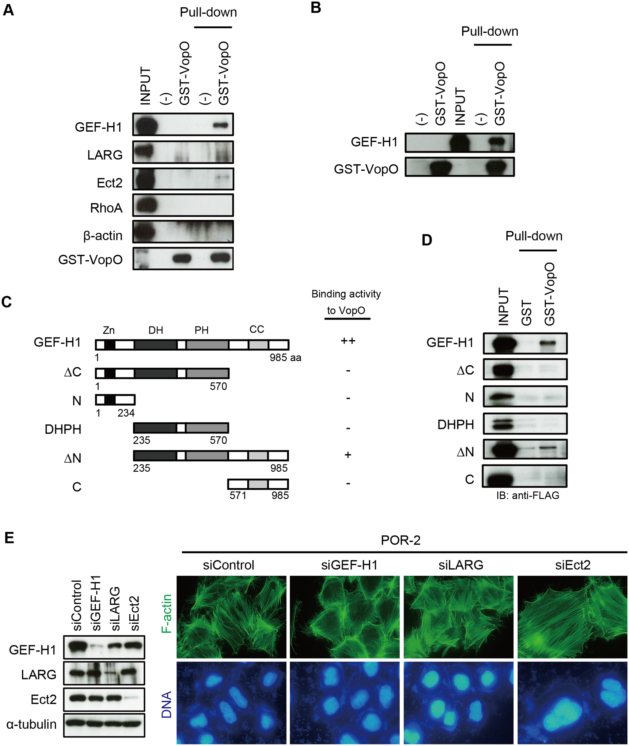 GEF-H1, a VopO binding partner, is necessary for VopO-induced stress fiber formation.