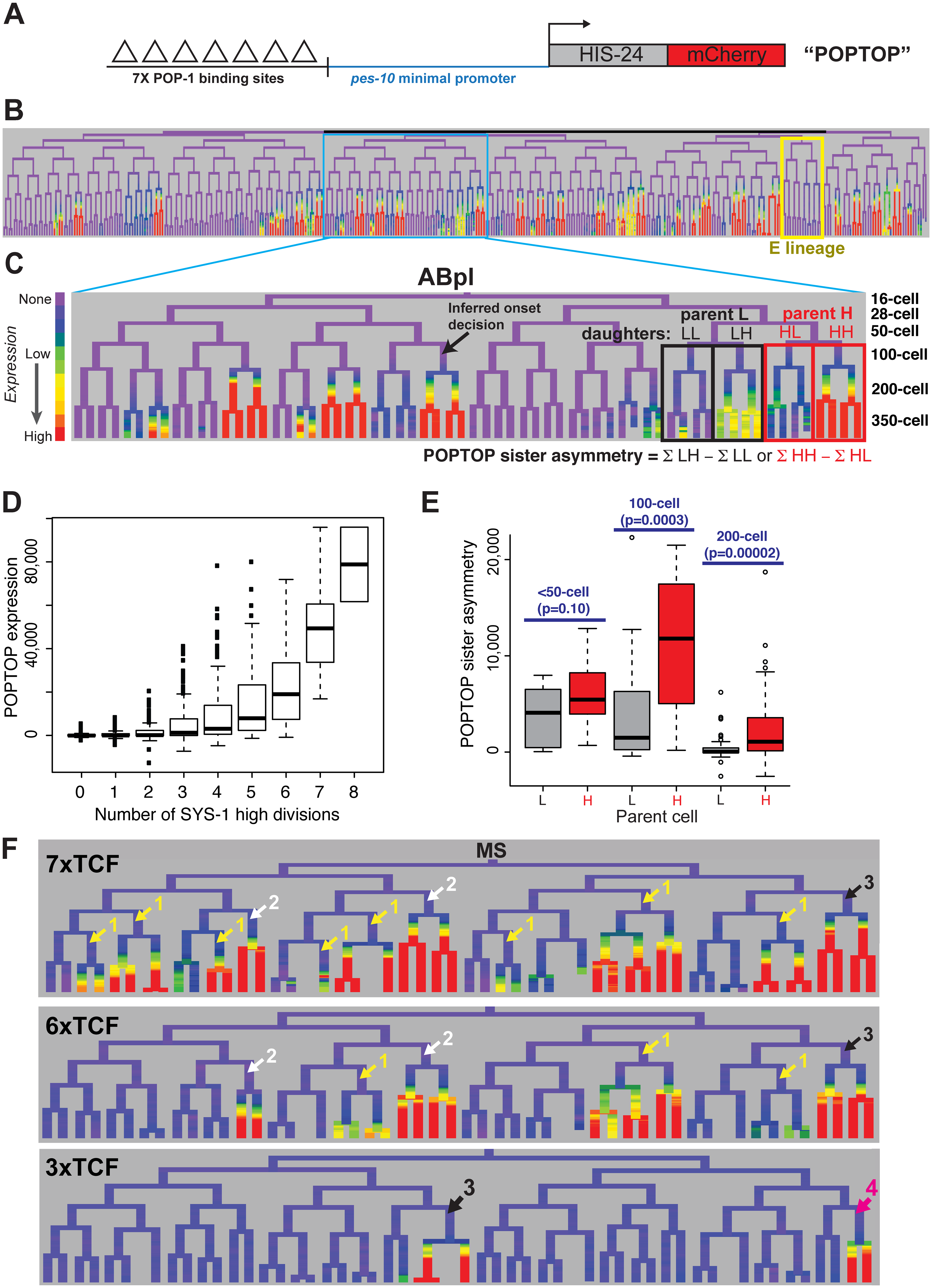 A reporter of POP-1-dependent activation shows stronger activity in double-posterior lineages.