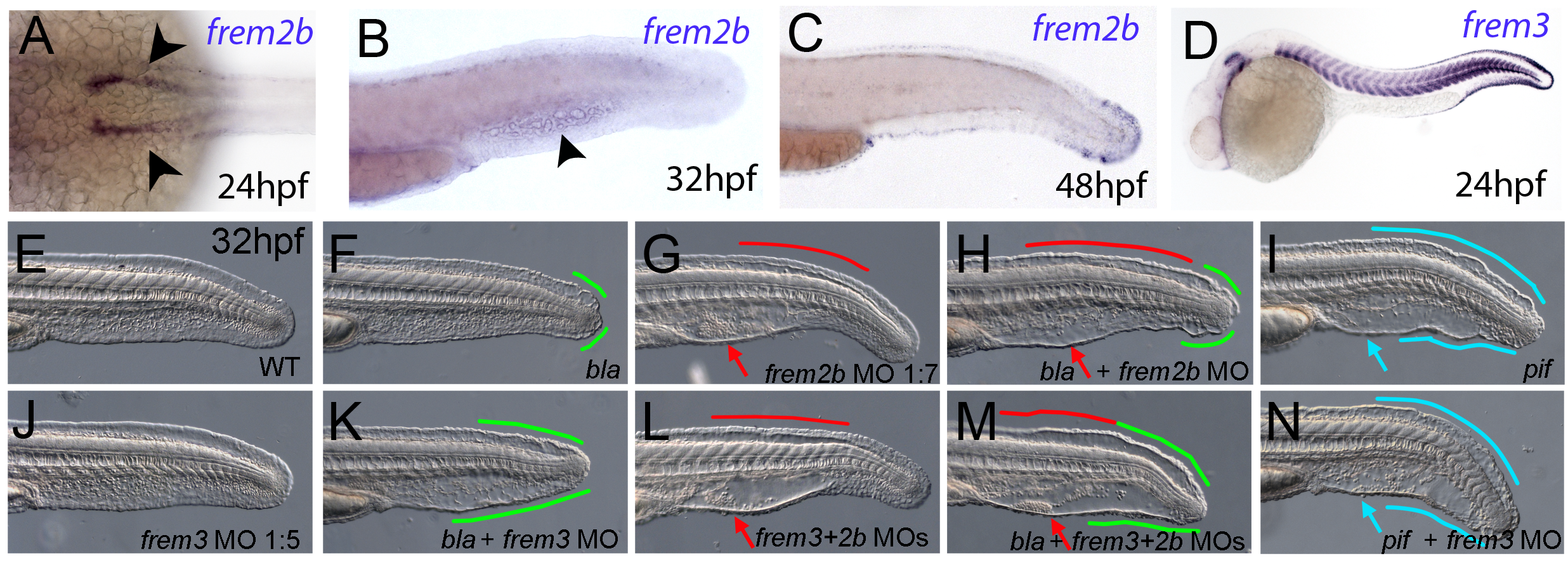 Partially redundant roles of zebrafish Frem2/3 paralogues.