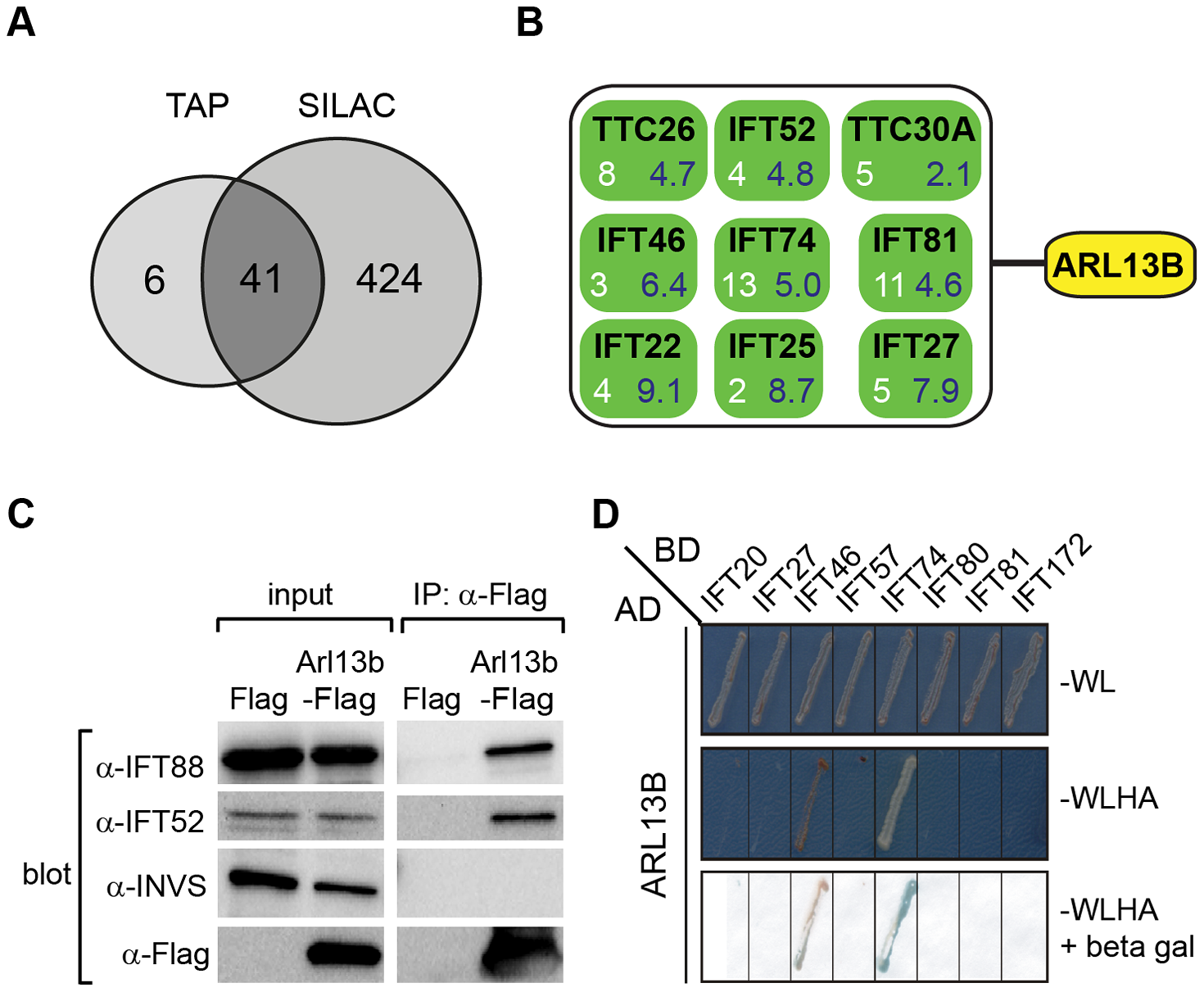 ARL13B associates with IFT-B complex via IFT46 and IFT74 interactions.