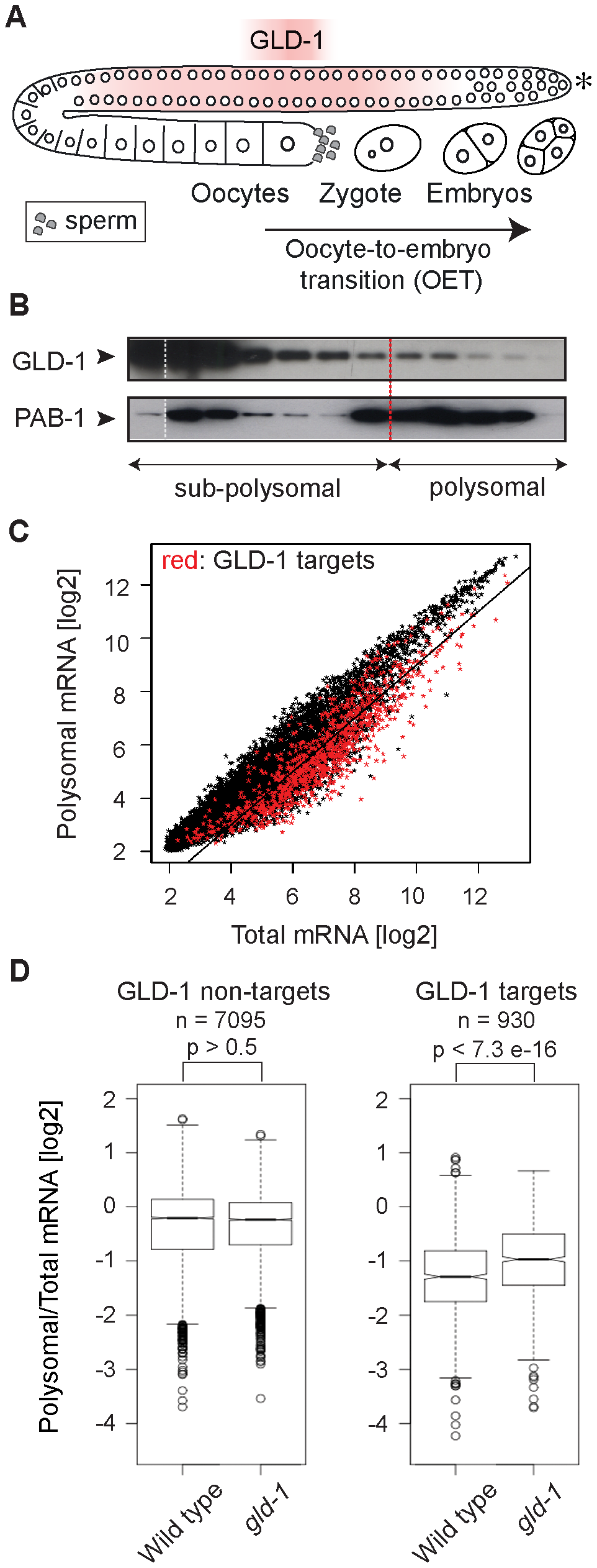 GLD-1 has a widespread role in repressing translation.