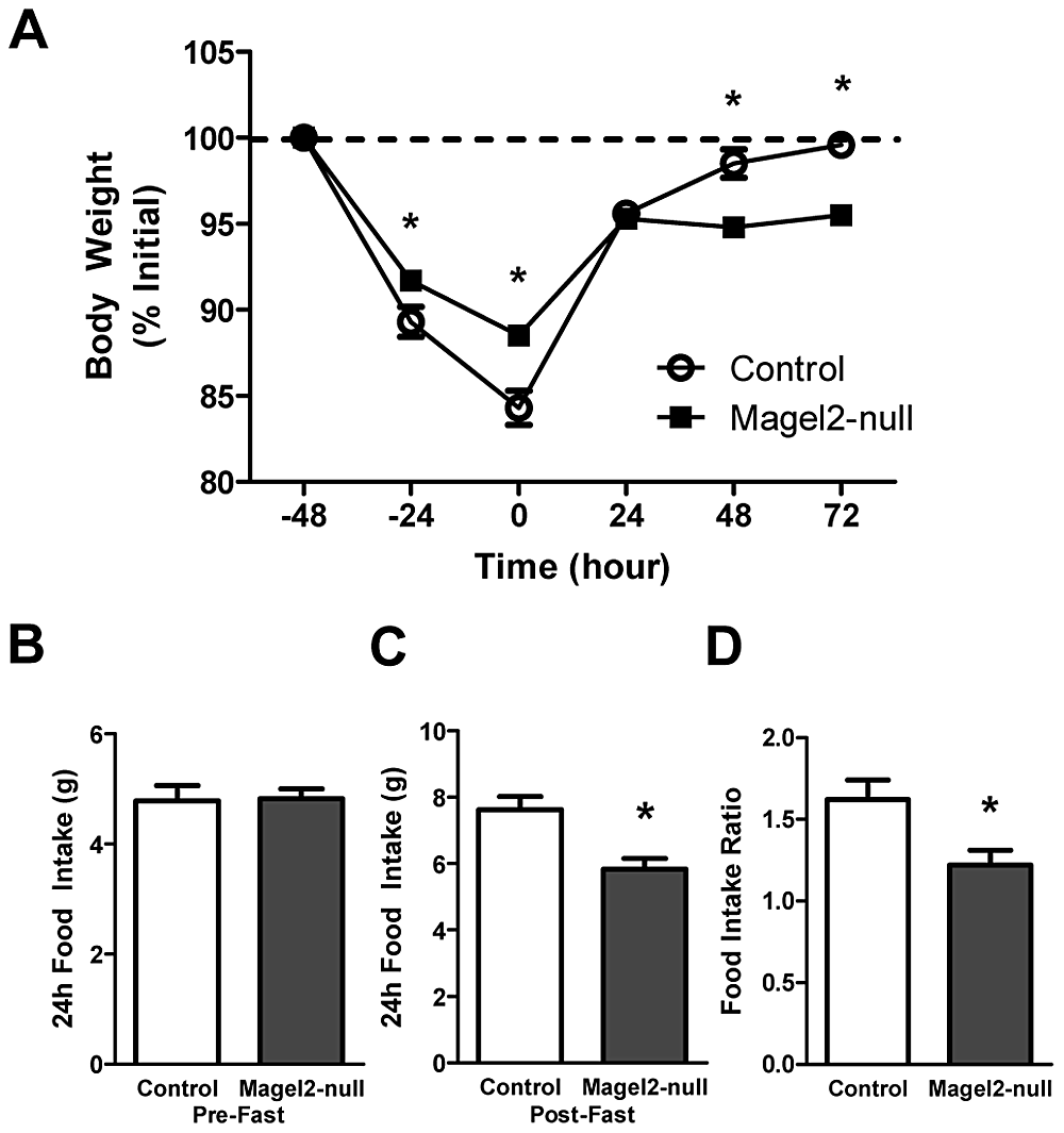 <i>Magel2</i>-null mice have abnormal weight recovery and compensatory refeeding after fasting.
