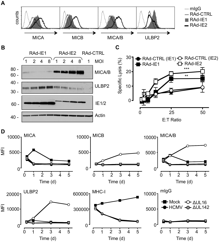 Regulation of NKG2DL during HCMV infection.