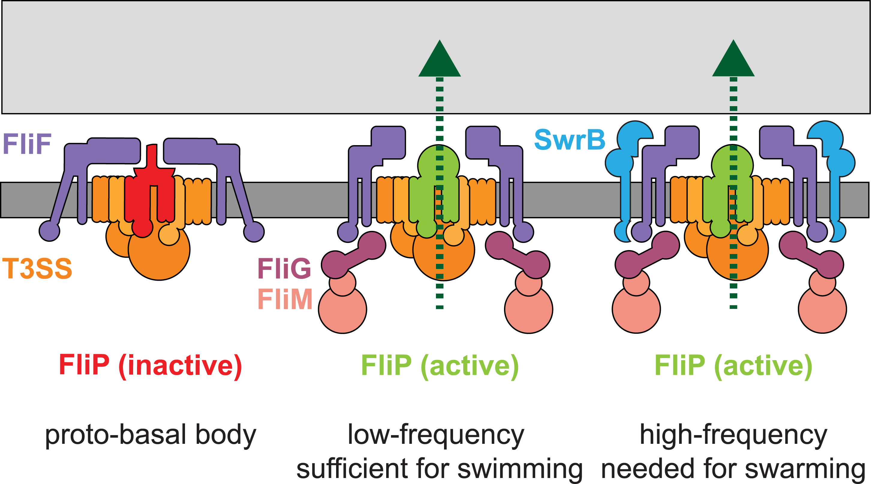 SwrB activates flagellar type III secretion.
