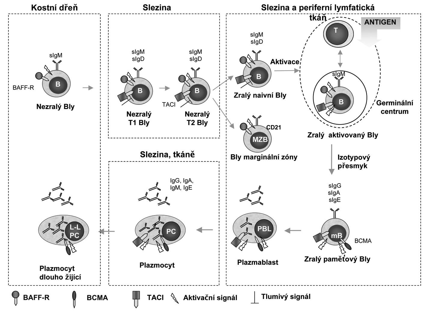 Potenciální funkce receptorů pro BAFF a APRIL u různých stadií vývoje B-lymfocytů. (Upraveno podle: BAFF, APRIL and their receptors: structure, function and signaling. Semin Immunol. 2006:263-75 a BAFF, APRIL and human B cell disorders. Semin Immunol 2006:305-17). Během vývoje jsou B-lymfocyty závislé na signalizaci zprostředkované receptory pro BAFF a APRIL, které jsou diferencovaně exprimované v jednotlivých diferenciačních stadiích. V časných stadiích maturace (od nezralých B-lymfocytů přez přechodná stadia T1,2 až po naivní zralé B-lymfocyty) předává BAFF-R signál pro přežití a TACI působí jako negativní regulátor. BAFF-R je potřebný také pro tvorbu B-lymfocytů marginální zóny a expresi CD21. Během terminální diferenciace je pak přežití B-lymfocytů závislé na signálu zprostředkovaném BCMA. BAFF-R a TACI jsou důležité pro indukci izotypového přesmyku do IgG a IgE a TACI do IgA. Zkratky: BAFF-R, BAFF receptor; BCMA, B-cell maturation antigen; Bly (B), B-lymfocyt; LL PC, Long lived plasma cell; mB, memory B-lymfocyt; MZB, marginal zone B lymphocyte; PC, Plasma cell; PBL, Plasmablast; T, T-lymfocyt; TACI, transmembrane activator and calcium monulator and cyclophilin ligand interactor; T1,2 transitional B-lymphocyte.