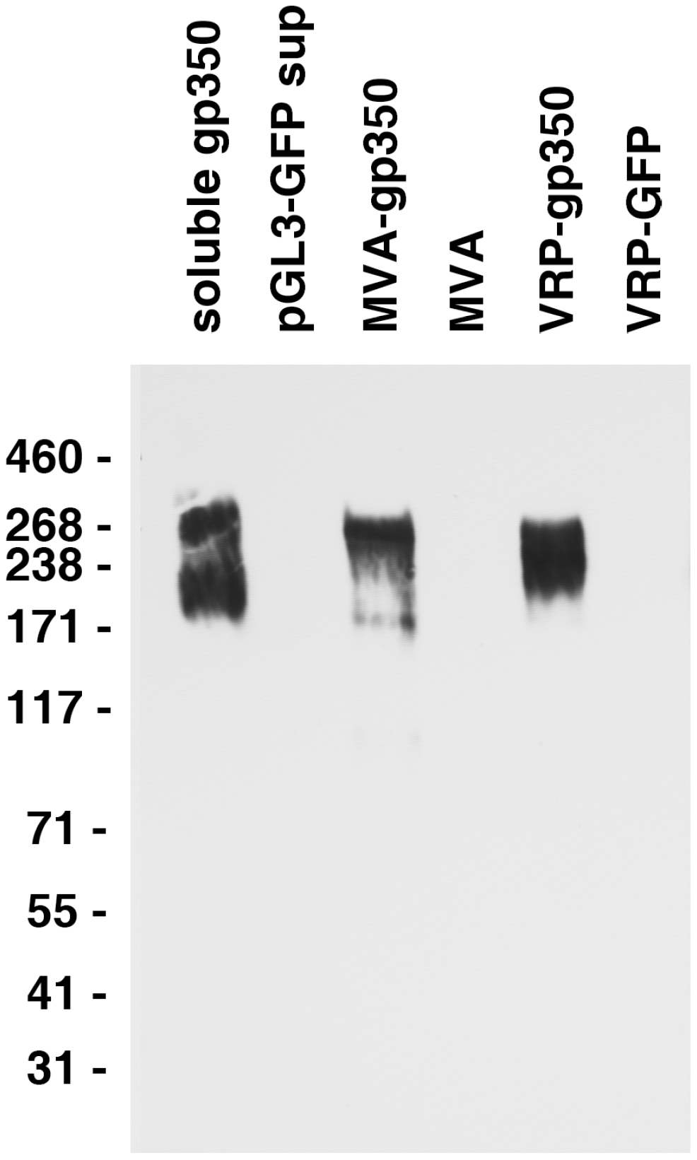 Detection of gp350 in supernatant from cells transfected with a plasmid expressing soluble gp350, lysate from DF-1 cells infected with MVA-gp350, and lysate from Vero cells infected with VRP-gp350.