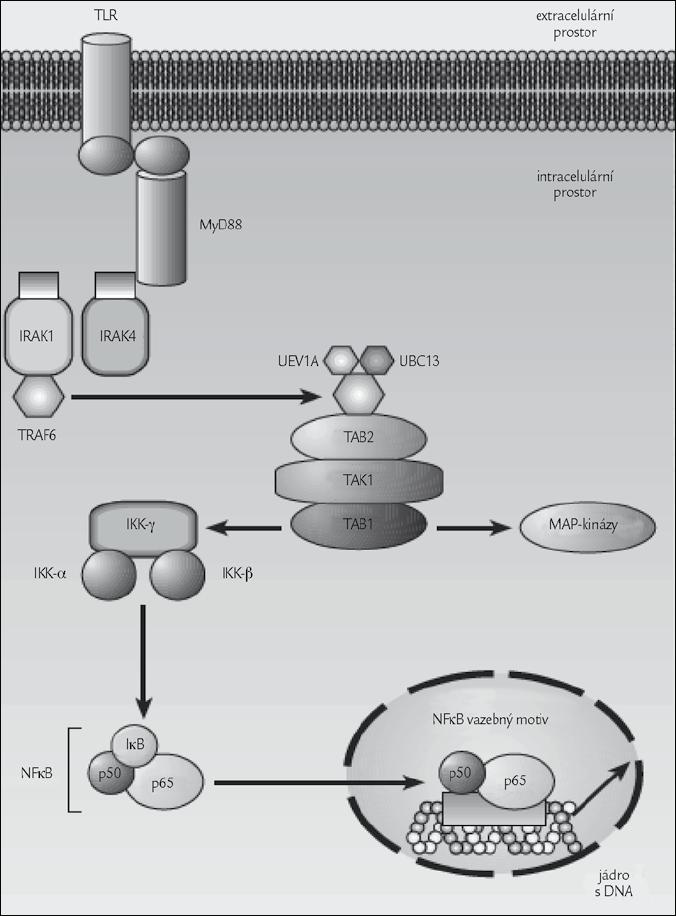 Zjednodušený mechanizmus přenosu signálu z TLR do jádra, kde se uplatňuje i aktivace D<sub>3</sub>. Obrázek byl použit se souhlasem redakce z [1].