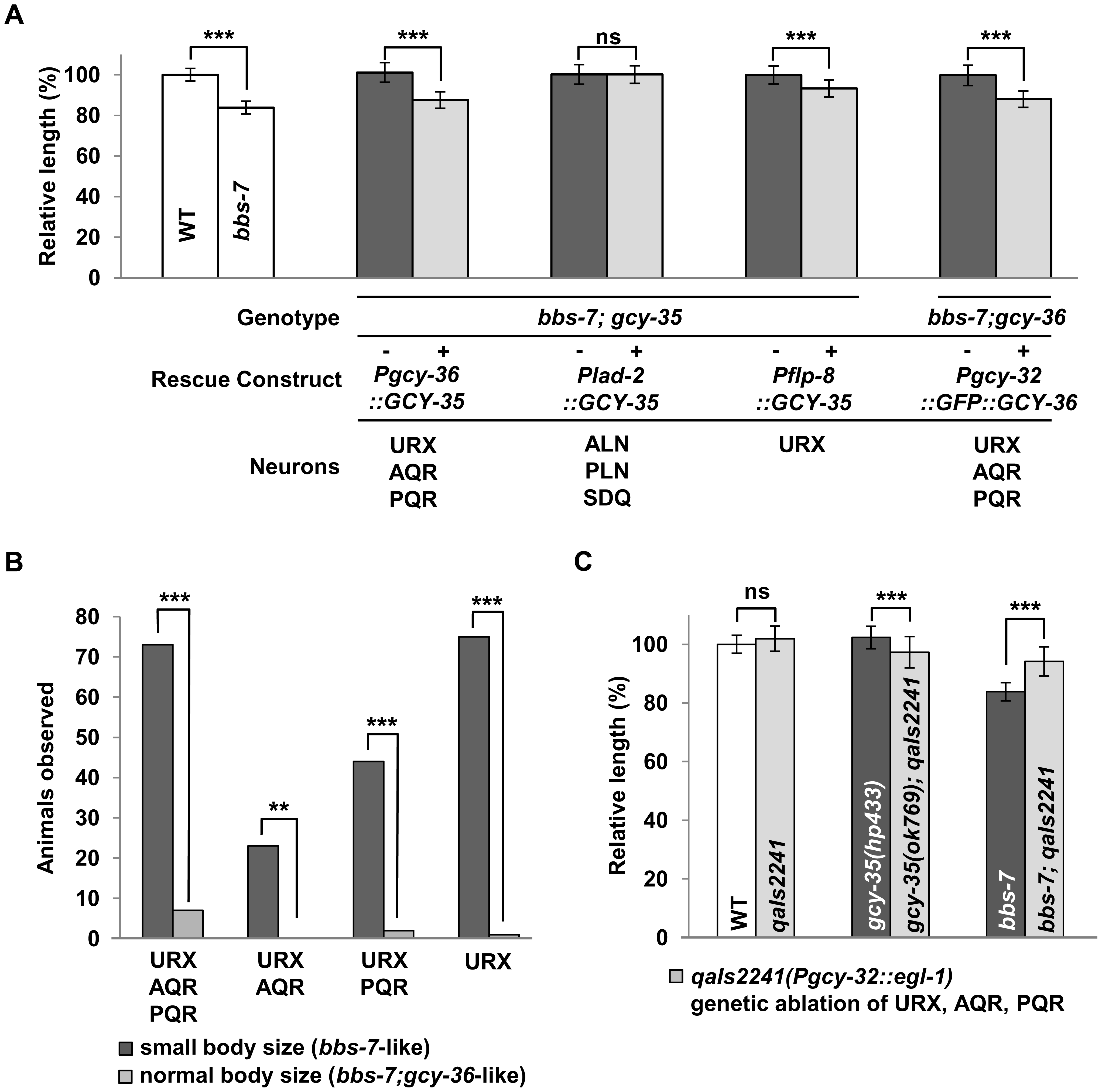 GCY-35 and GCY-36 are required in body cavity neurons to influence body size.