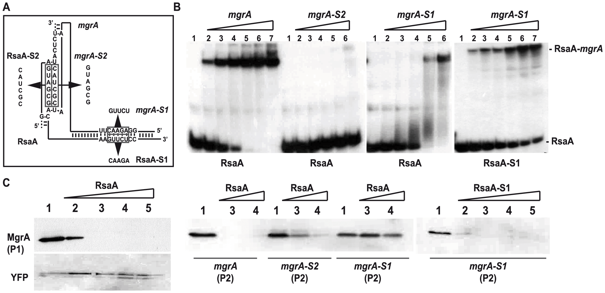 Contribution of the two binding sites of RsaA-<i>mgr</i>A duplex on translation repression.