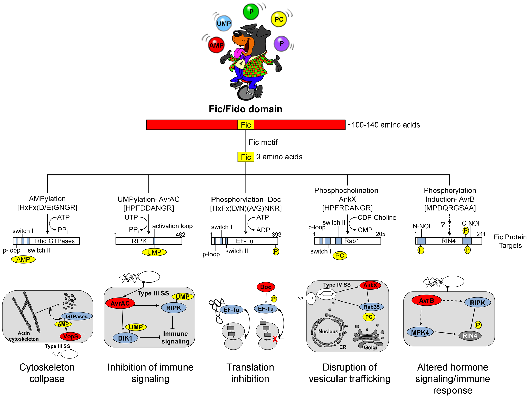 Overview of Fic domain proteins, their targets, and their roles in bacterial virulence.