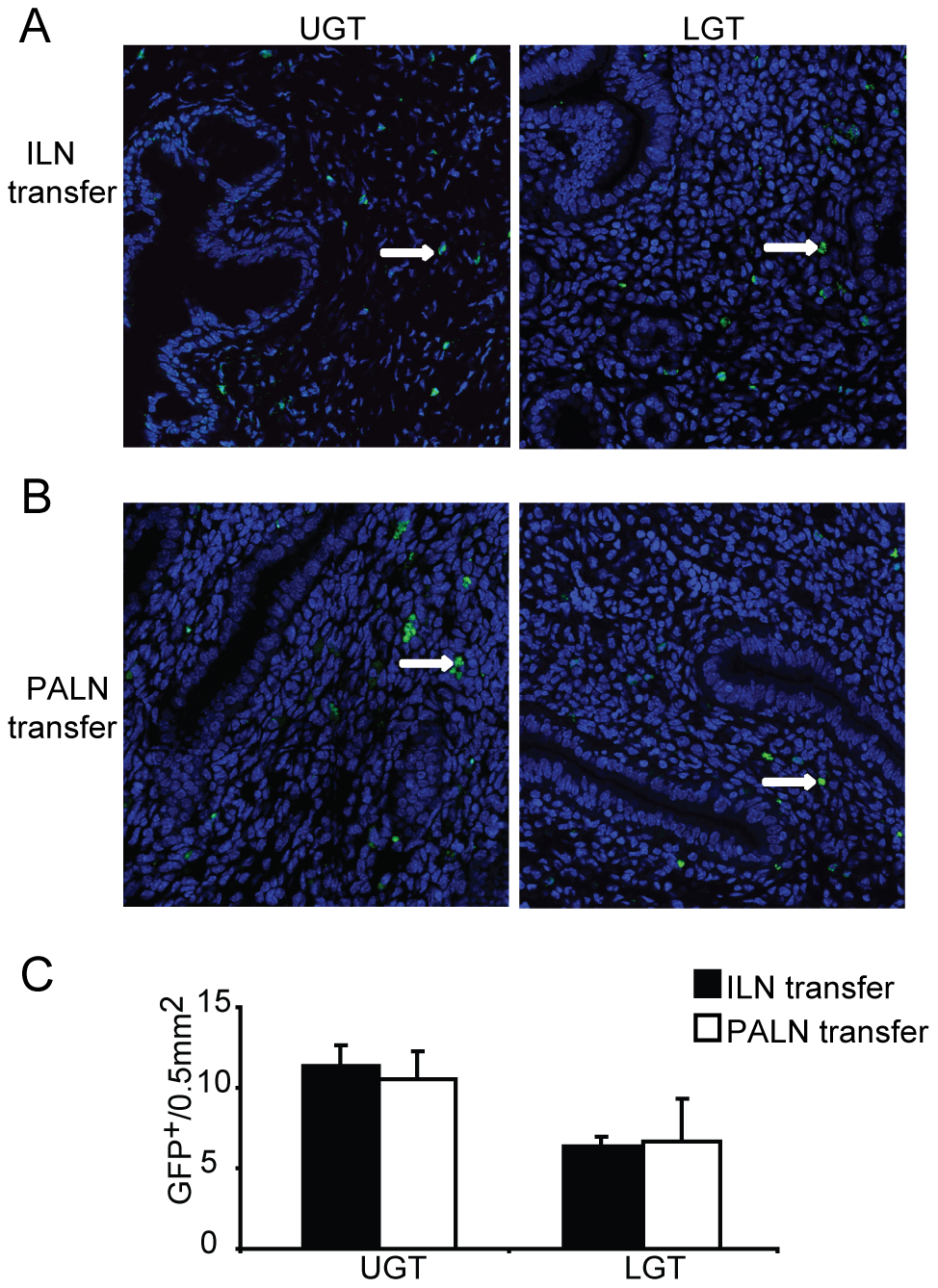 Local factors influence the accumulation of T helper subsets in the genital tract.