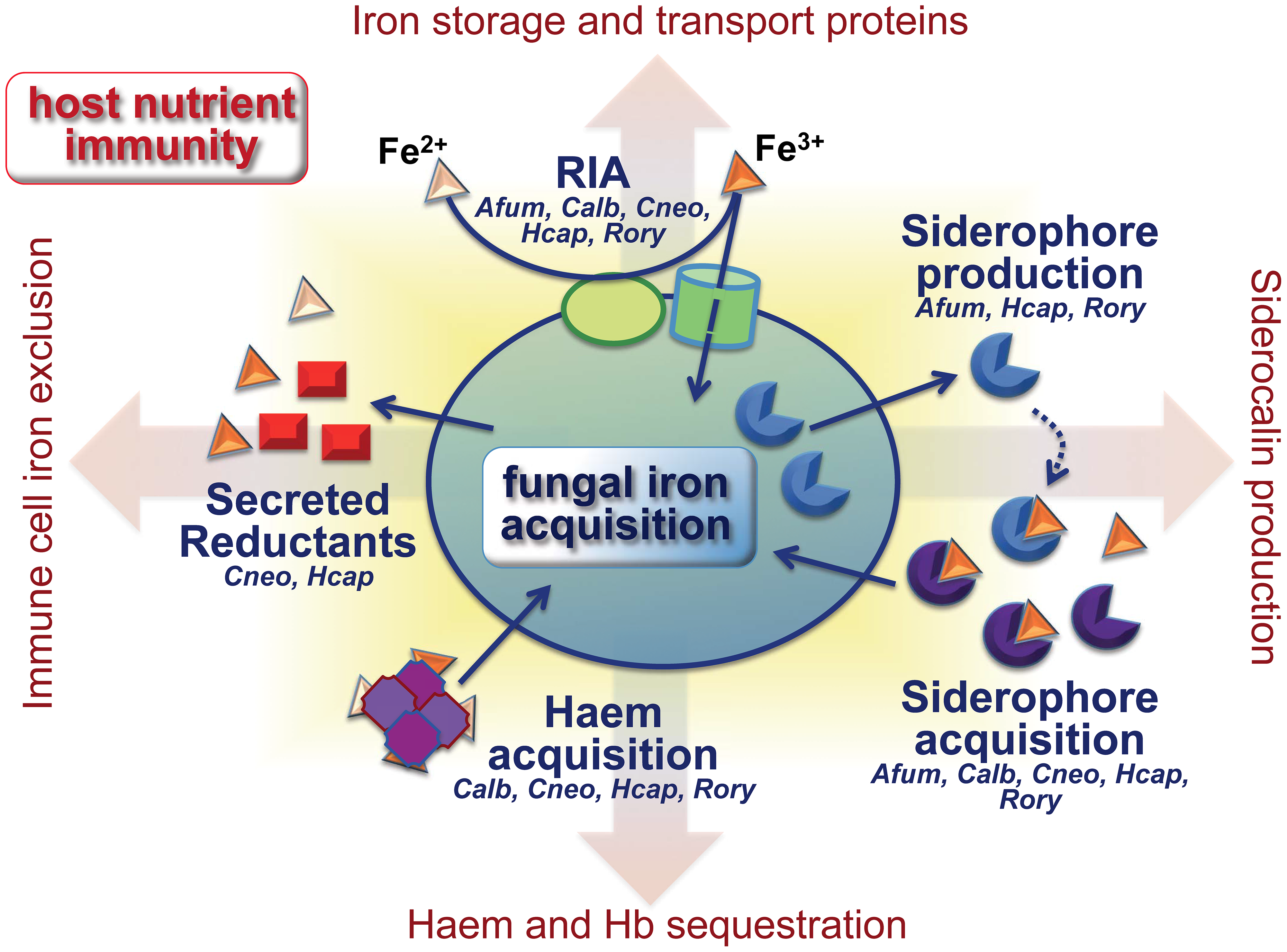 Fungal iron scavenging competes with mammalian nutritional immunity.