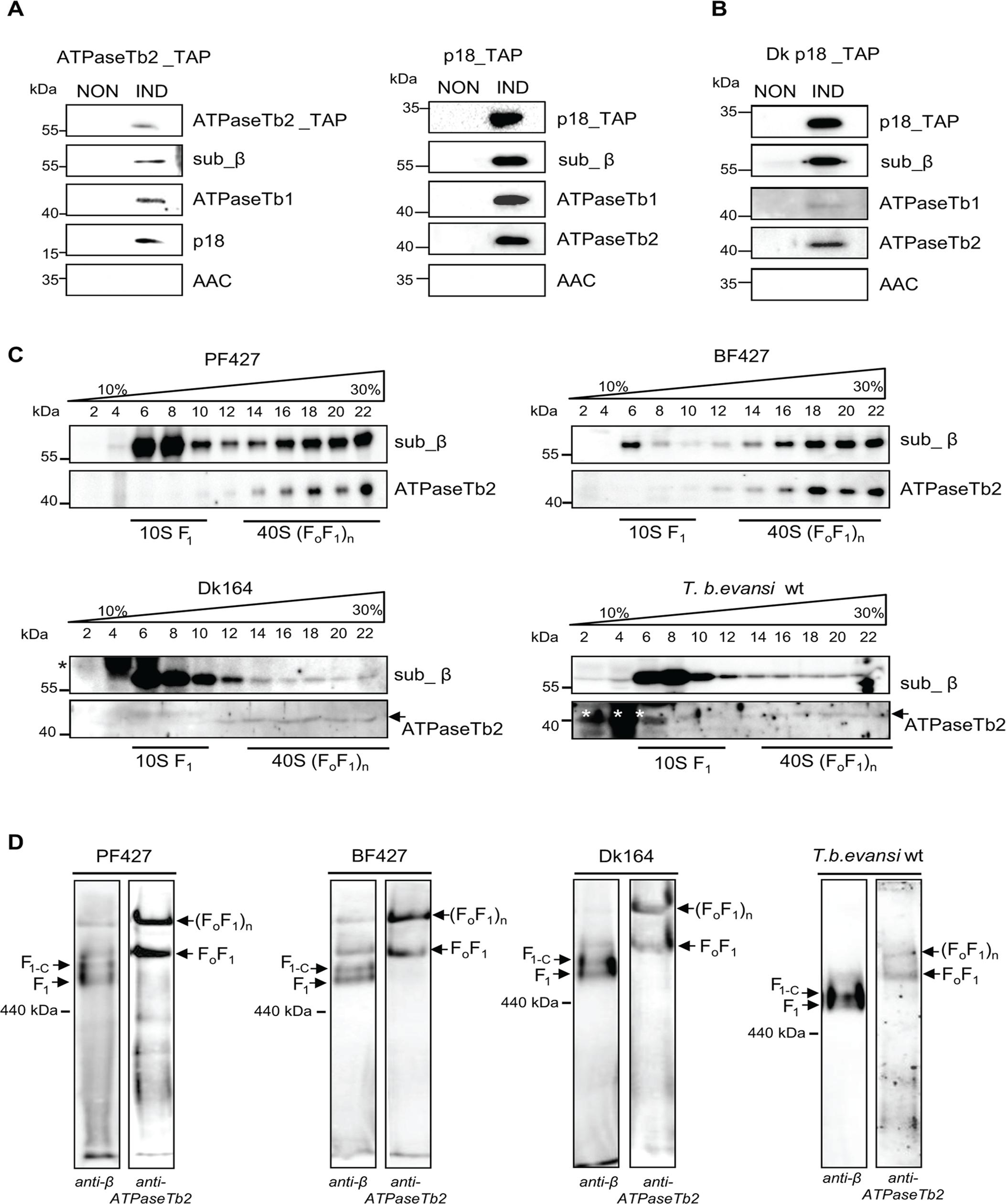 ATPaseTb2 is a bona fide subunit of the monomeric and multimeric F<sub>o</sub>F<sub>1</sub>-ATPases.