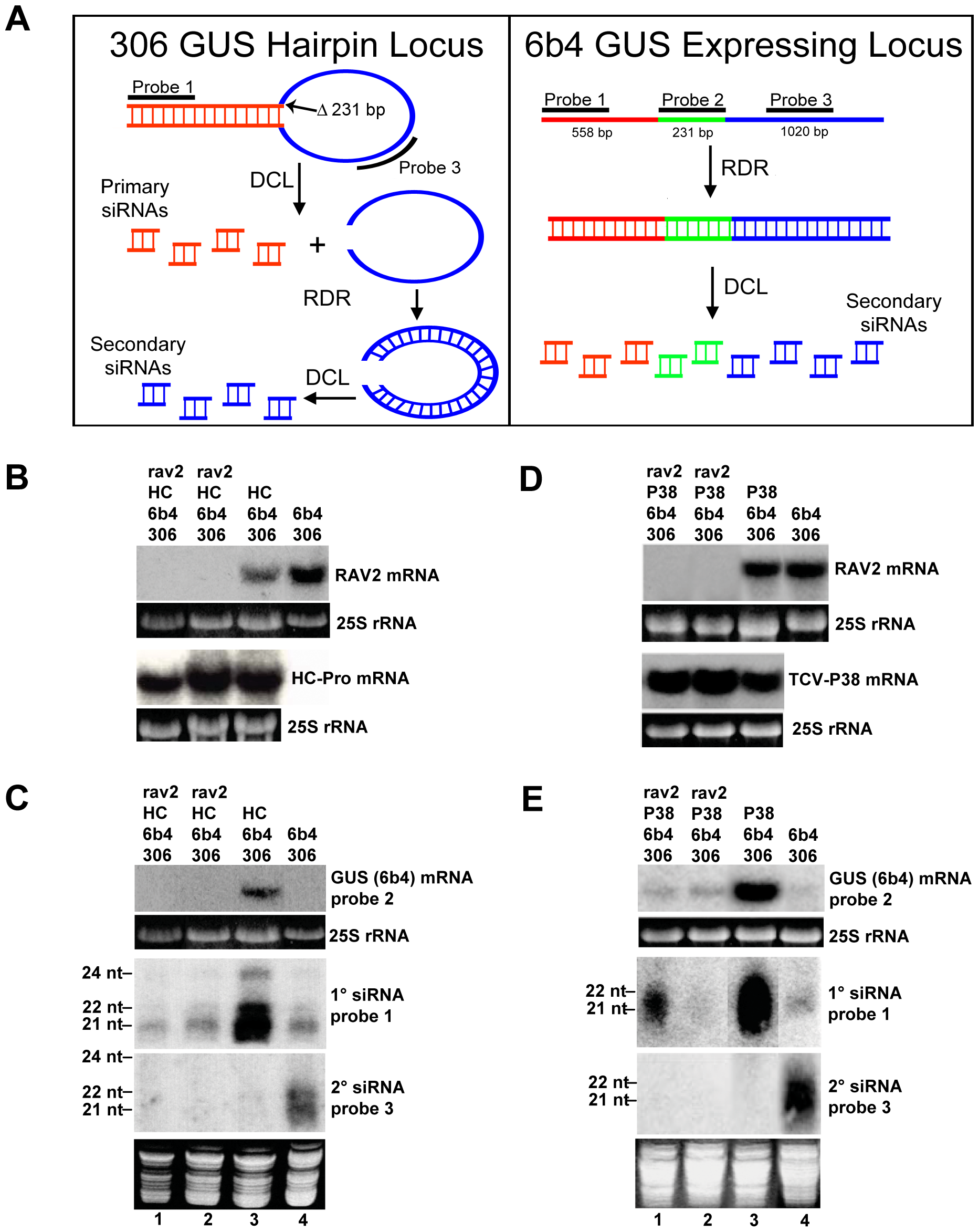 <i>RAV2</i> is Required for Suppression of Hairpin Transgene Silencing by Two Unrelated Viral Suppressors.