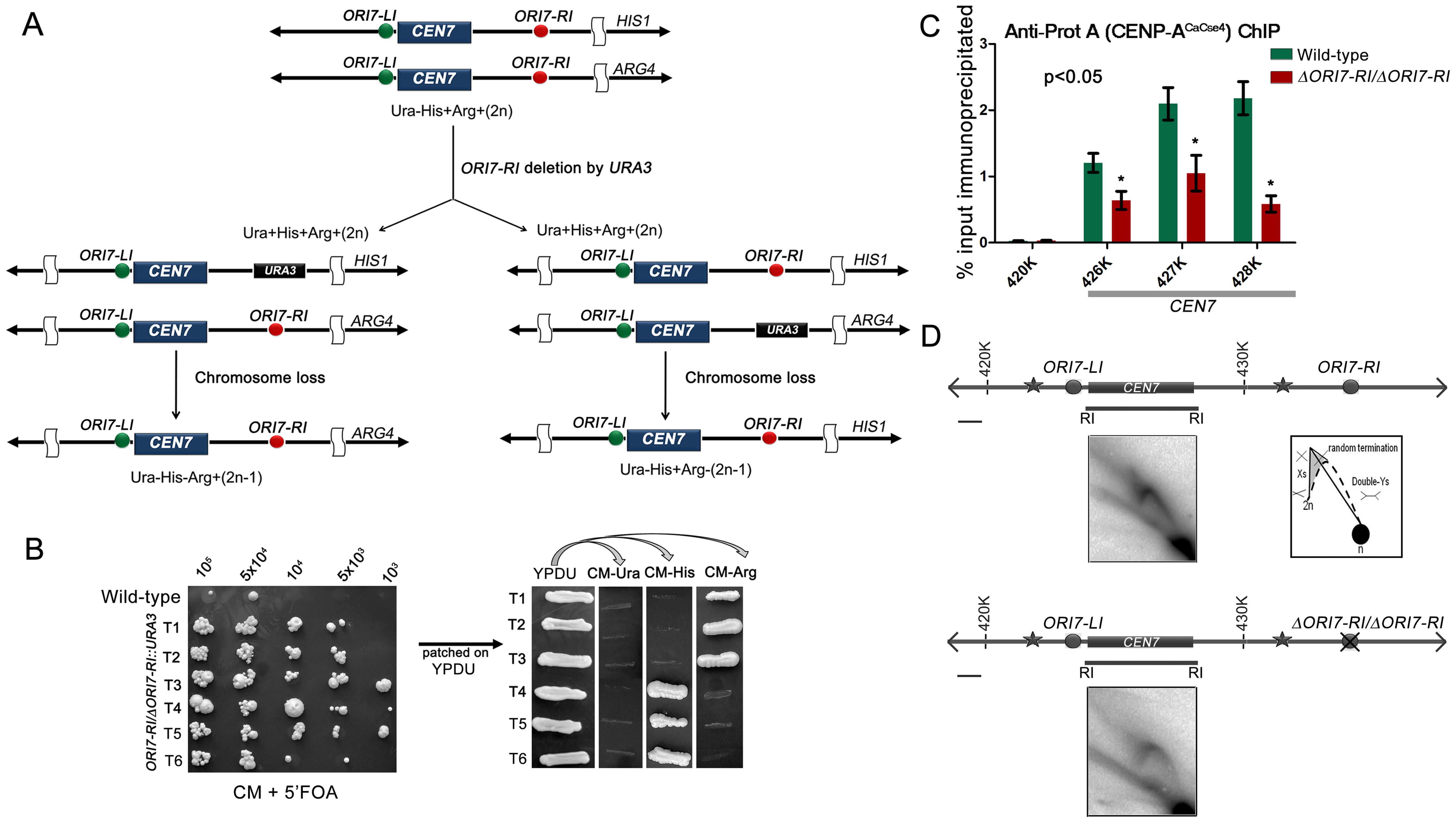 Centromere proximal origins maintain centromere functioning.
