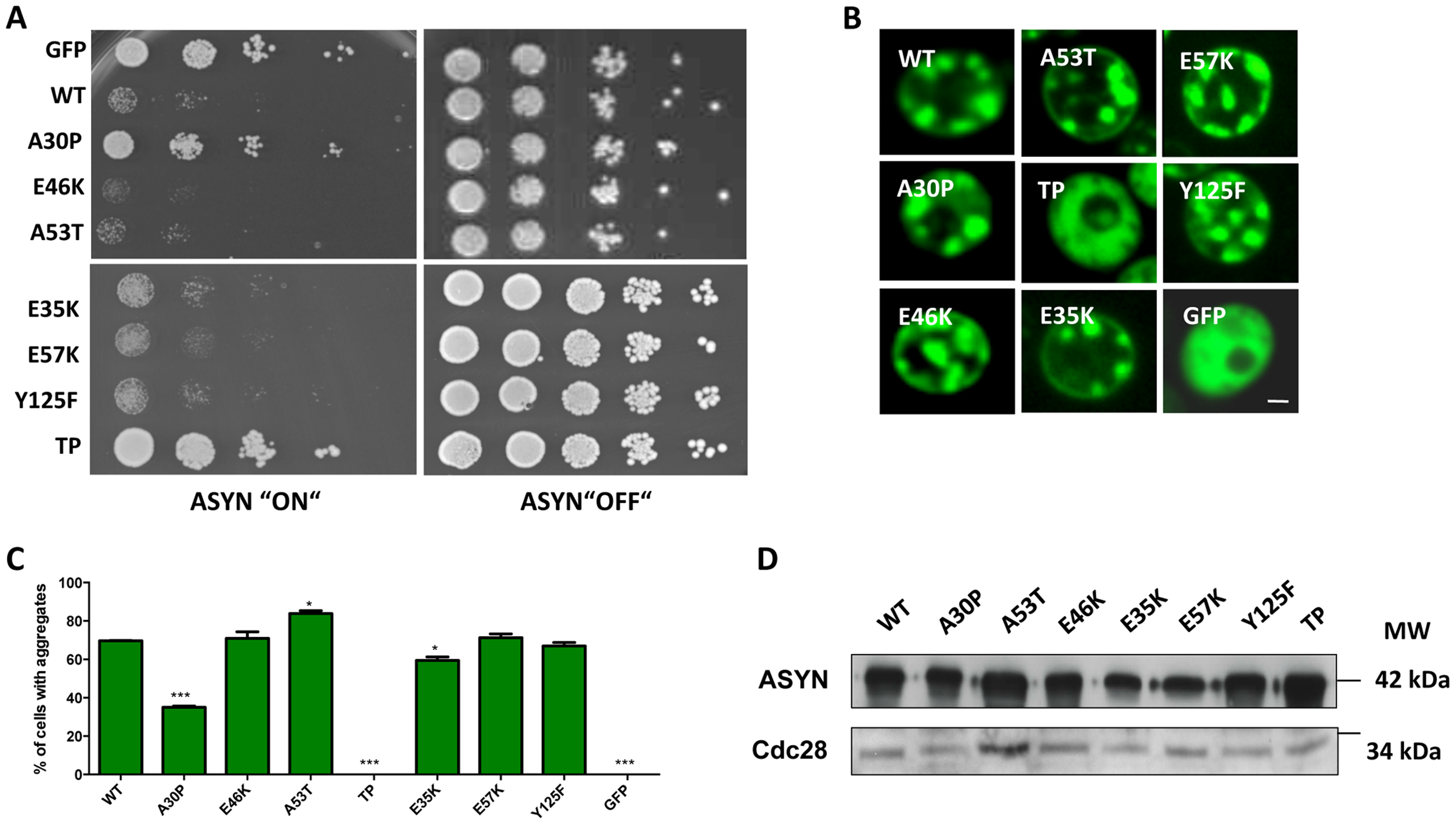 High-copy expression of α-synuclein-GFP variants in yeast.
