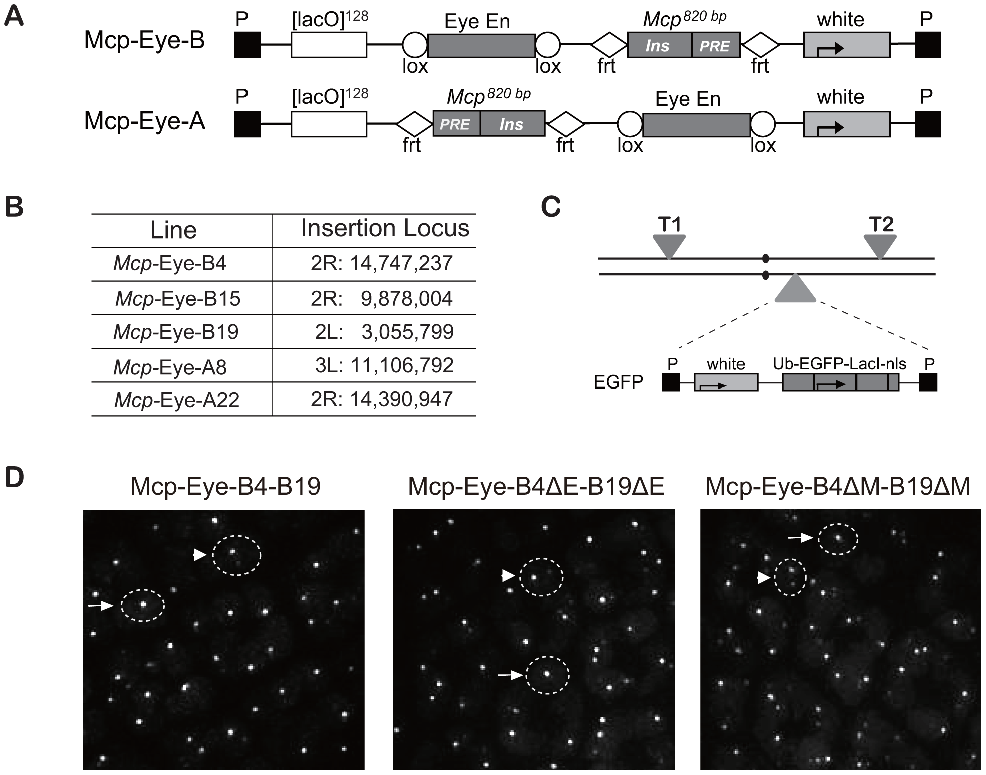 Transgene constructs to determine the effect of the Eye enhancer on co-localization.
