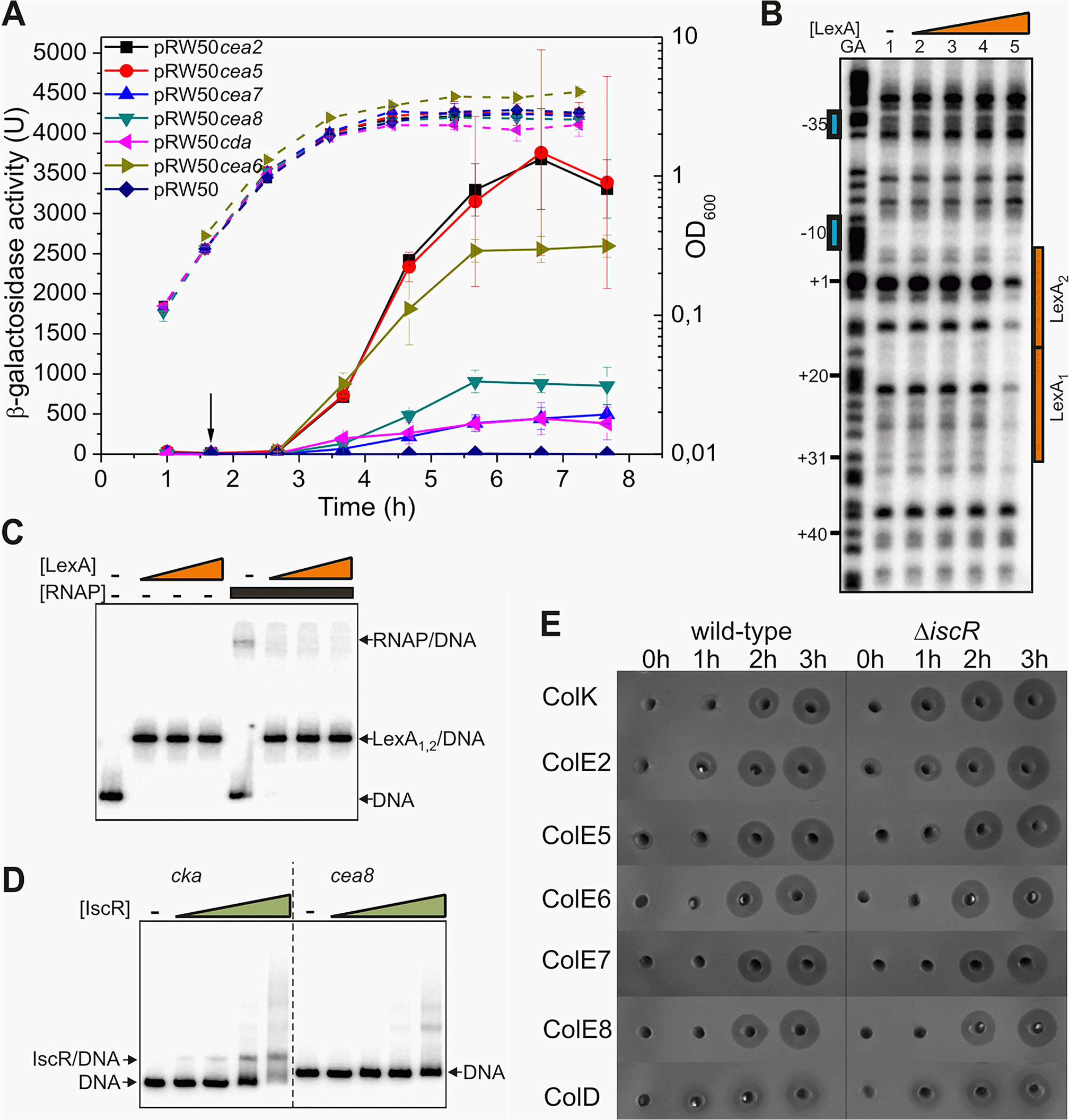 IscR does not modulate the temporal induction of nuclease colicins.
