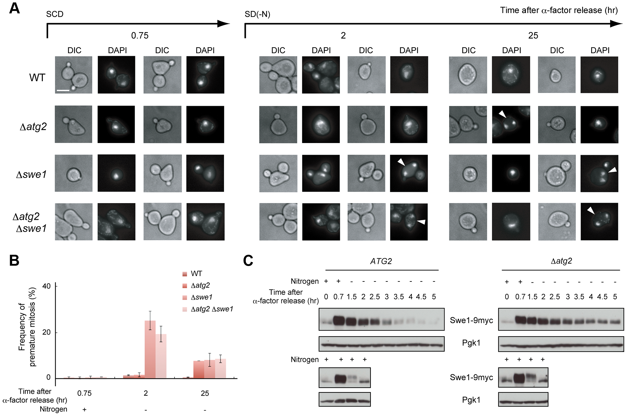 Autophagy is important for normal cell division under nutrient starvation conditions.