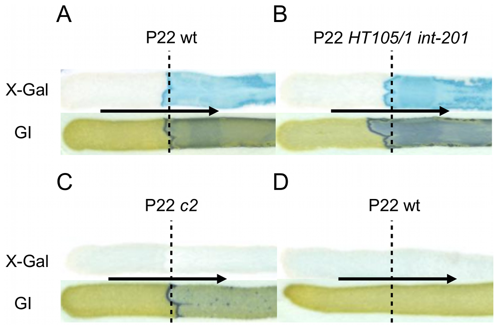 The Pid/<i>dgo</i> interaction is not supported during strict lytic or lysogenic development of P22.