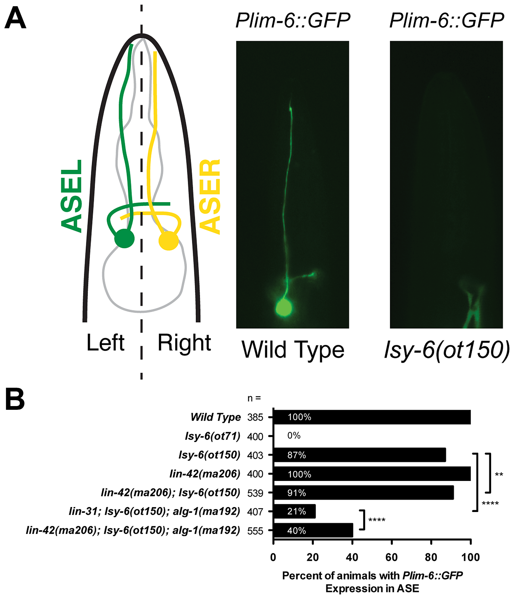 <i>lin-42</i> suppresses neuronal phenotypes associated with <i>lsy-6</i> miRNA-mediated cell fate specification.