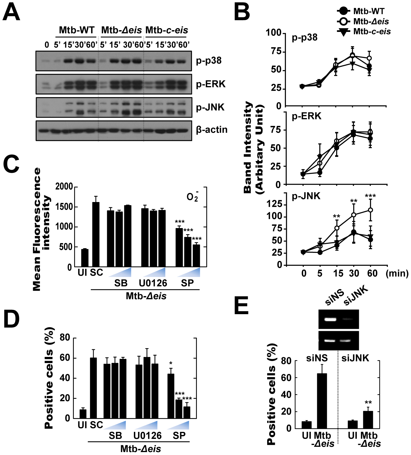 Infection with Mtb-<i>Δeis</i> induces cell death through JNK-dependent signaling.