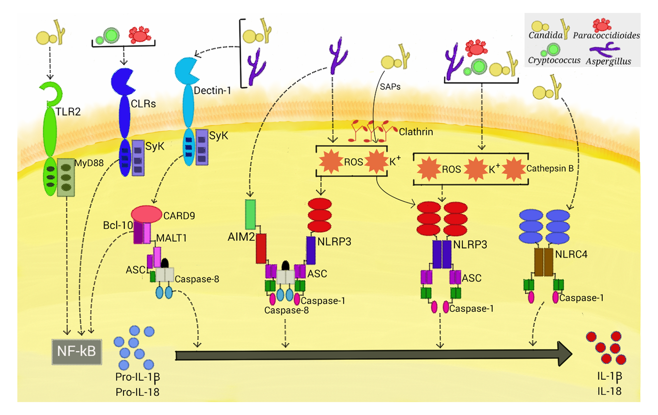 Activation of inflammasomes by fungal pathogens.