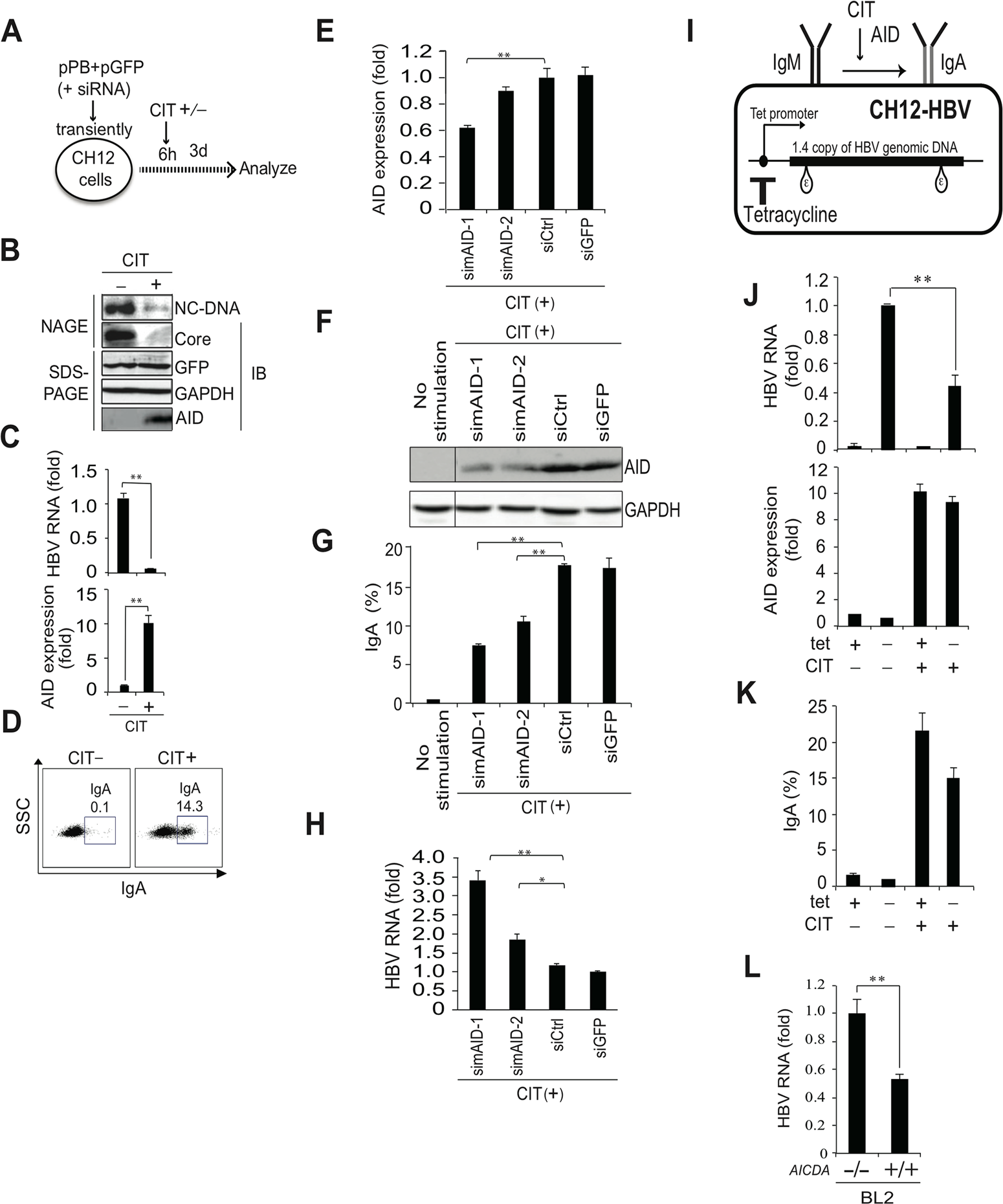 IgA switching activity correlates with reduction of HBV transcripts in B cells.
