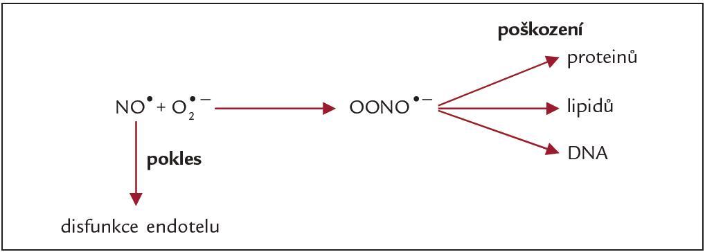 Vliv nadprodukce O<sup>2•-</sup> na hladiny reaktivních forem dusíku v organizmu.